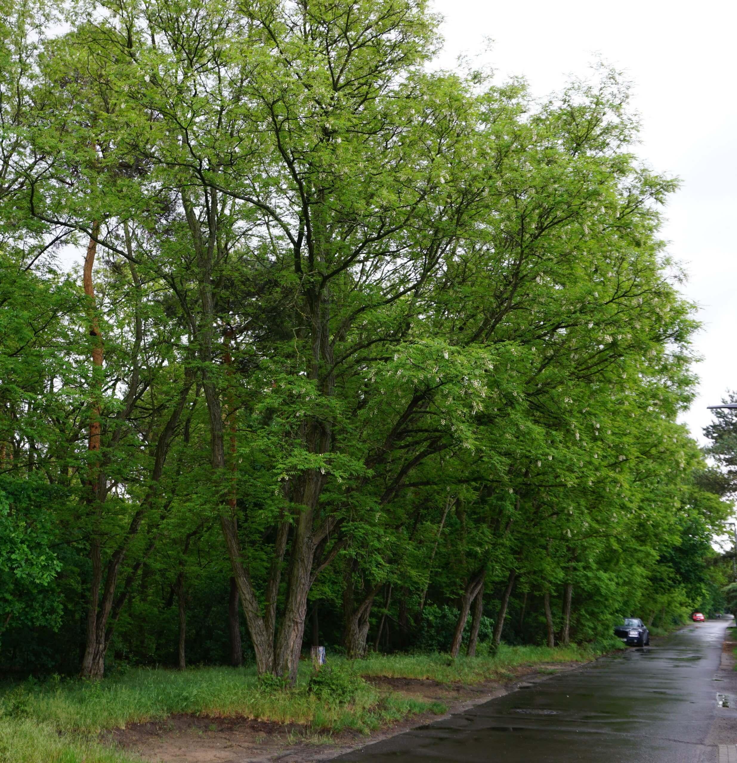 Das Bild zeigt mehrere Robinien in einem Streifen, der einen Waldrand hin zu offenem Gelände mit Straße und einem Wohngebiet abgrenzt - bei Grüne Trift am Walde (Köpenick).