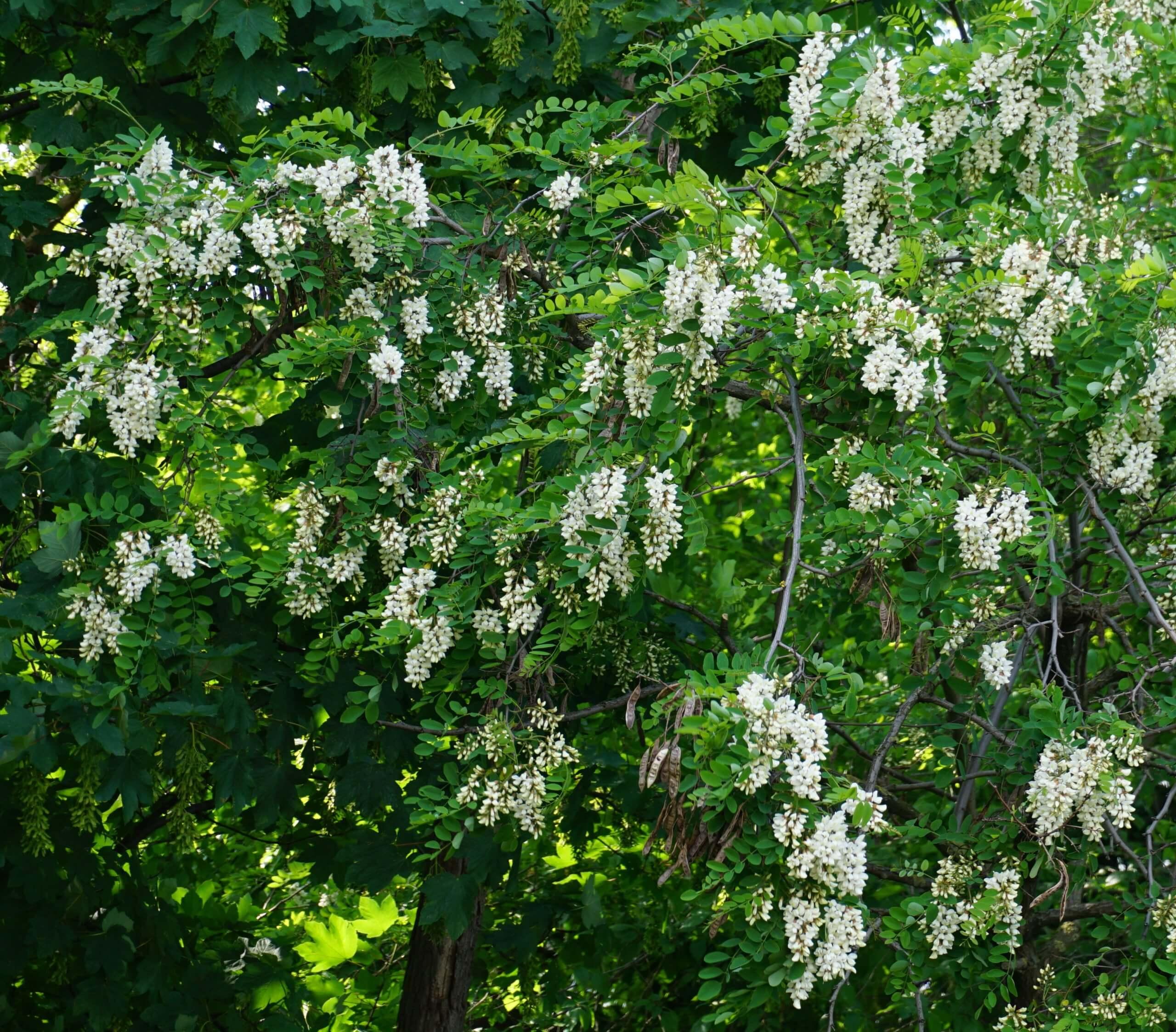 Das Bild zeigt einen Kronenausschnitt einer Robinie, welcher üppig mit weißen Blütentrauben behangen ist. Dies ist an Stadtbäumen nicht selten. Hier an einem Exemplar am Ufer der Dahme an der Langen Brücke in Köpenick, Juni 2021.