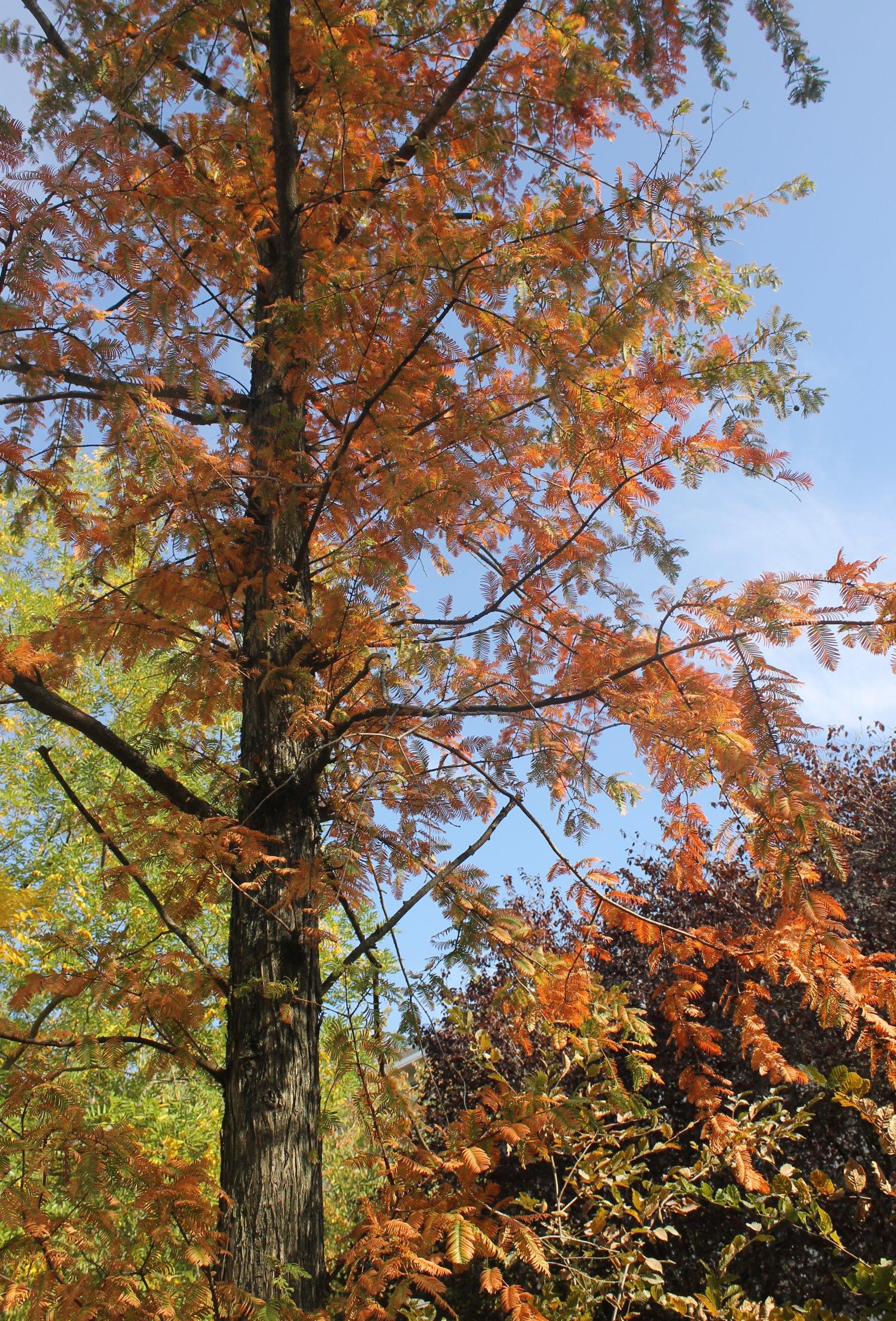 Das Bild zeigt einen Urweltmammutbaum im Kosmosviertel im Oktober in seiner rot-orangen Herbstfärbung.