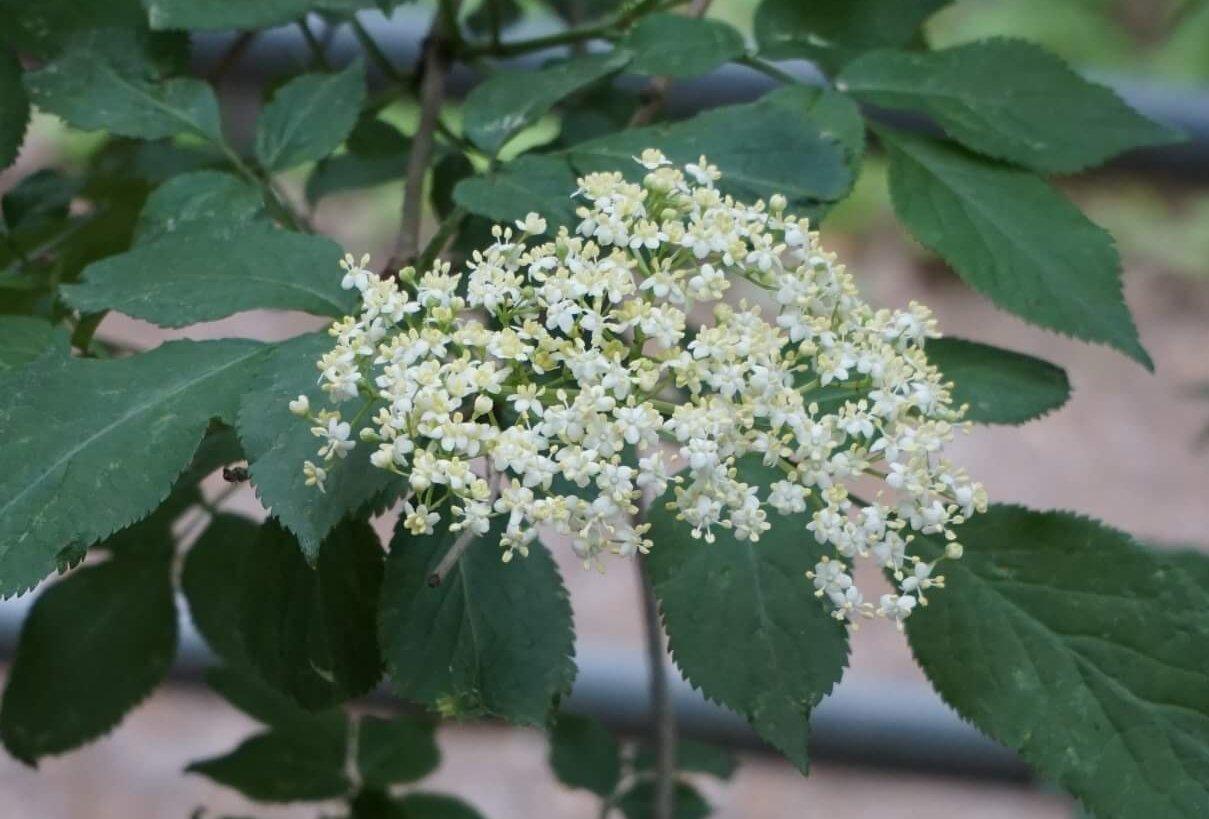 Das Bild zeigt die Schirmrispe des Blütenstandes eines Schwarzen Holunders, hier an einem Exemplar in den Müggelbergen.