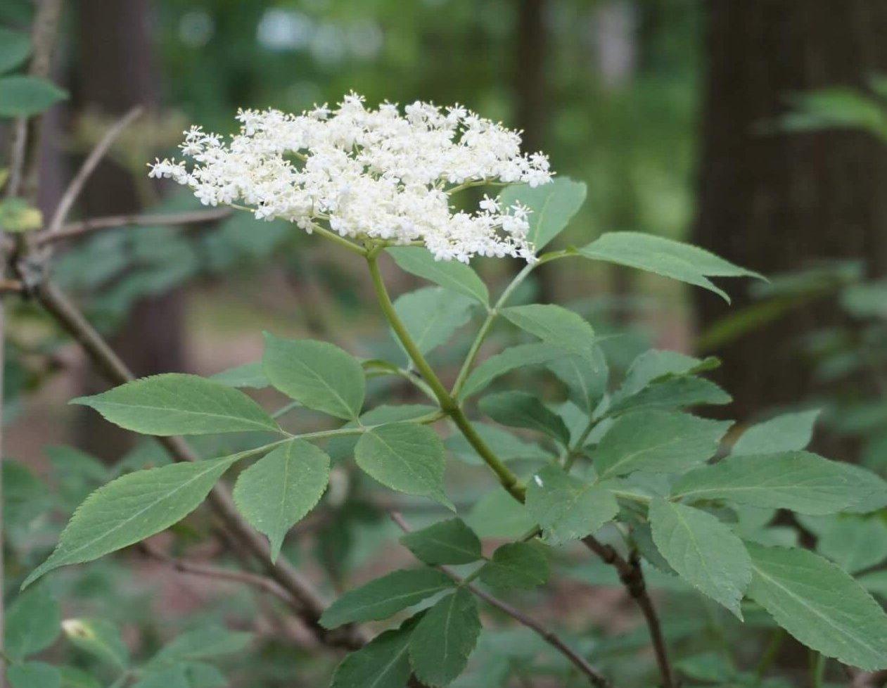 Das Bild zeigt die schirmartige Blütenrispe und die Fiederblätter eine Schwarzen Holunders im Müggelwald.