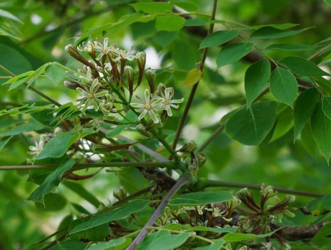 Das Bild zeigt die sternförmigen männlichen Blüten an einem Kentucky-Geweihbaum an der Schönefelder Chaussee im Kosmosviertel.