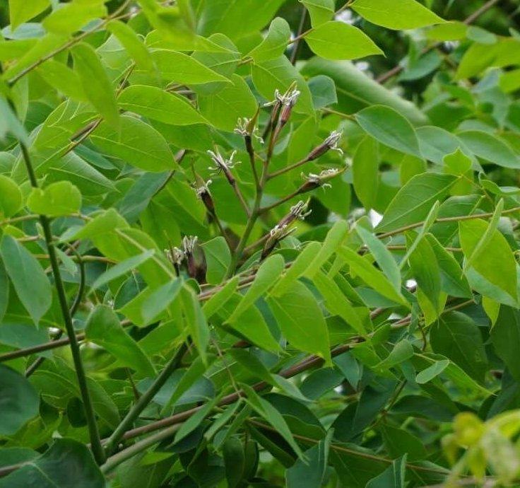 Das Bild zeigt die Traube mit weiblichen Blüten an einem Exemplar des Kentucky-Geweihbaumes an der Schönefelder Chaussee im Kosmosviertel.