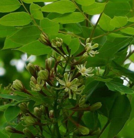 Das Bild zeigt die männlichen Blüten eines Kentucky-Geweihbaumes mit gelben Staubblättern, hier an einem Exemplar an der Schönefelder Chaussee im Kosmosviertel.