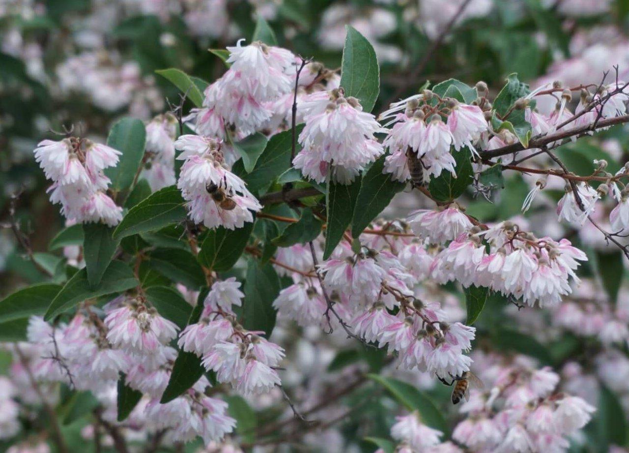 Das Bild zeigt die Blüten der Glocken-Deutzie mit mehreren Bienen auf den Blüten.