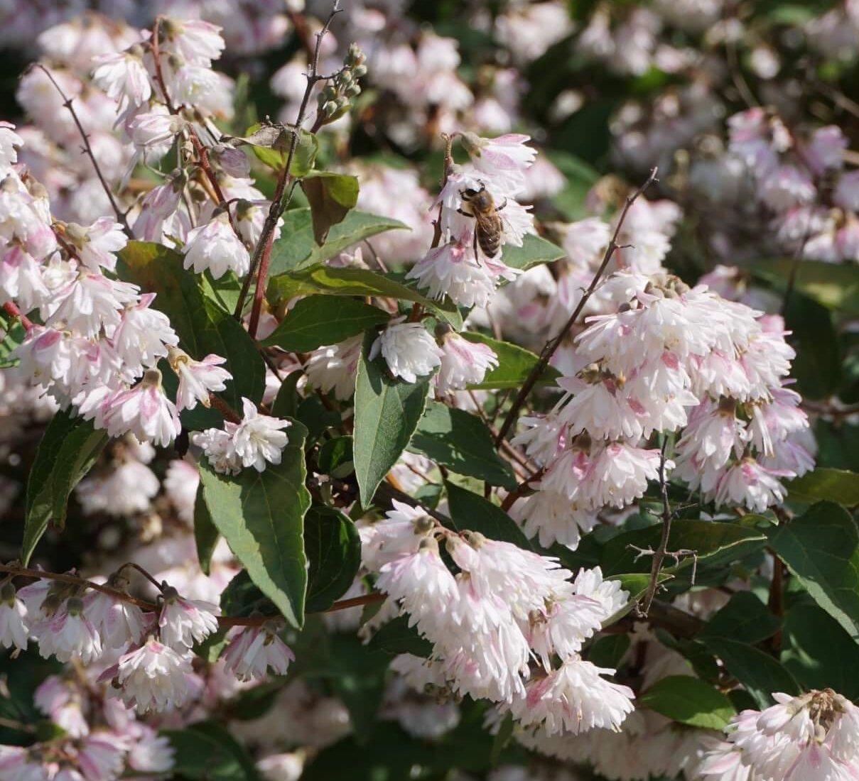Das Bild zeigt die Blüten der Glocken-Deutzie mit einer Biene auf einer der Blüten.