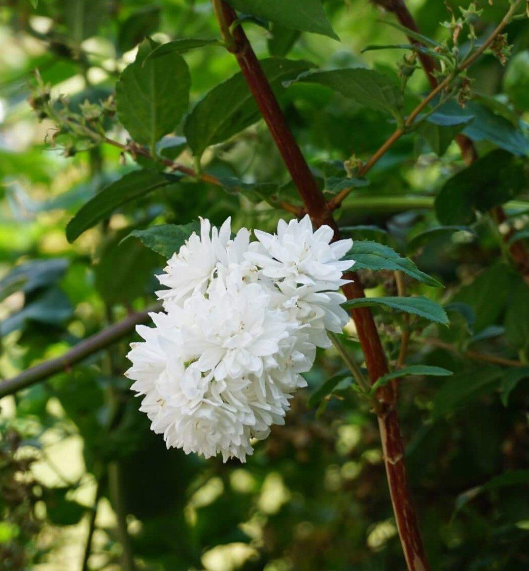 Das Bild zeigt die weißen, gefüllten Blüten einer Pracht-Deutzie im Kosmosviertel.
