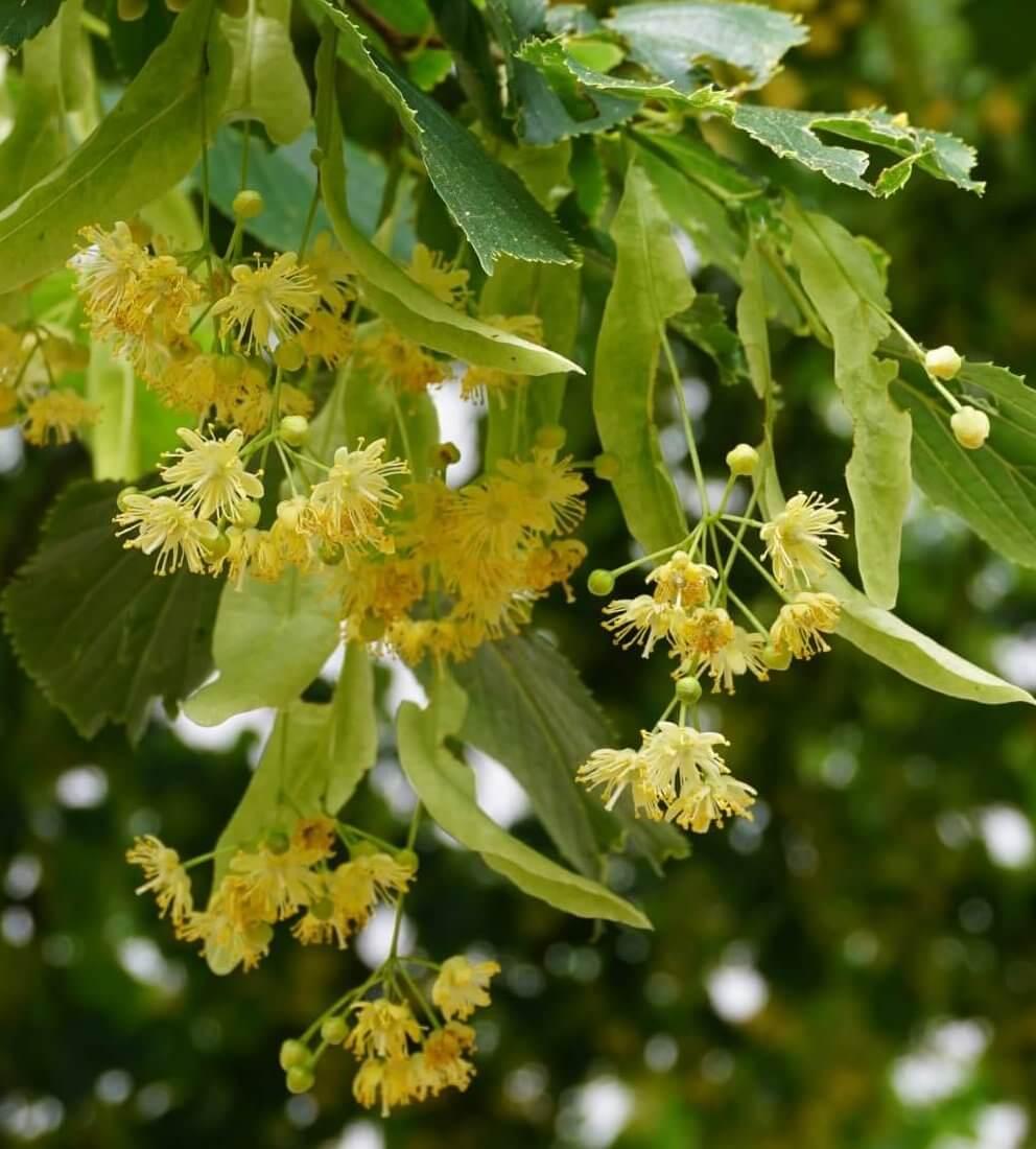 Das Bild zeigt die Blüten einer Linde mit den Details aus 5 Kelchblättern und 5 längeren Kronblättern sowie zahlreichen Staubblättern. Der lange, zentrale Griffel besitzt zwei Narben. Die Aufnahme entstand im Kosmosviertel.