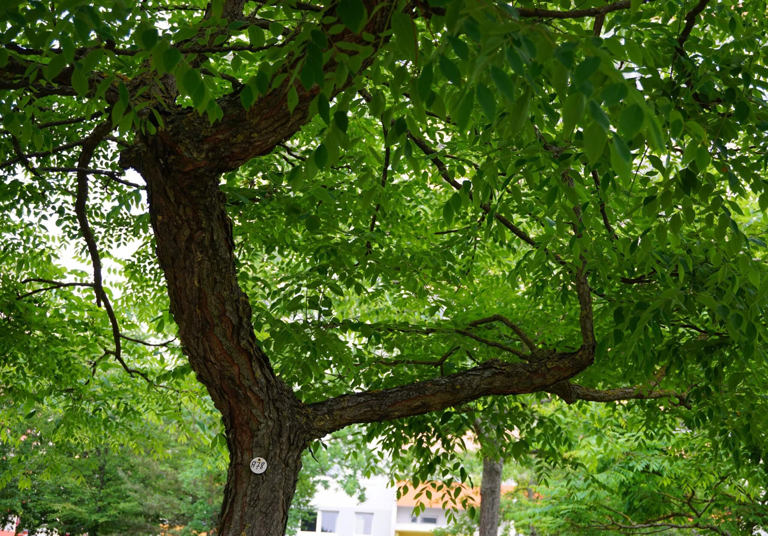 Das Bild zeigt das Astwerk eines Kentucky-Geweihbaumes an der Schönefelder Chaussee im Kosmosviertel. Es erinnert an die Formen von Hirsch-Geweihen.