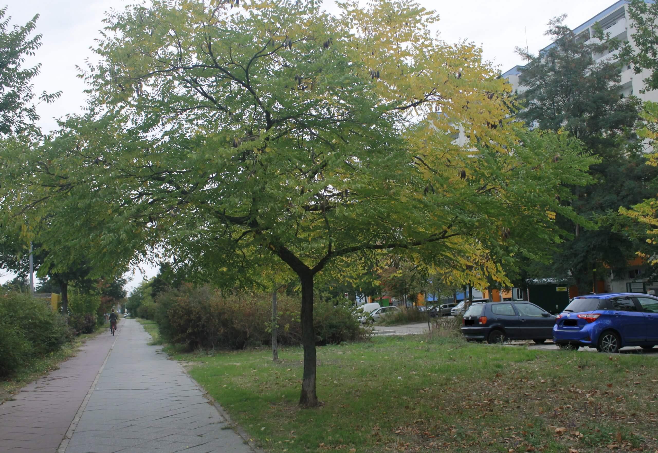 Das Bild zeigt einen Kentucky-Geweihbaum mit großen braunen, an den Zweigen hängenden Hülsenfrüchten im September, hier an der Schönefelder Chaussee im Kosmosviertel.