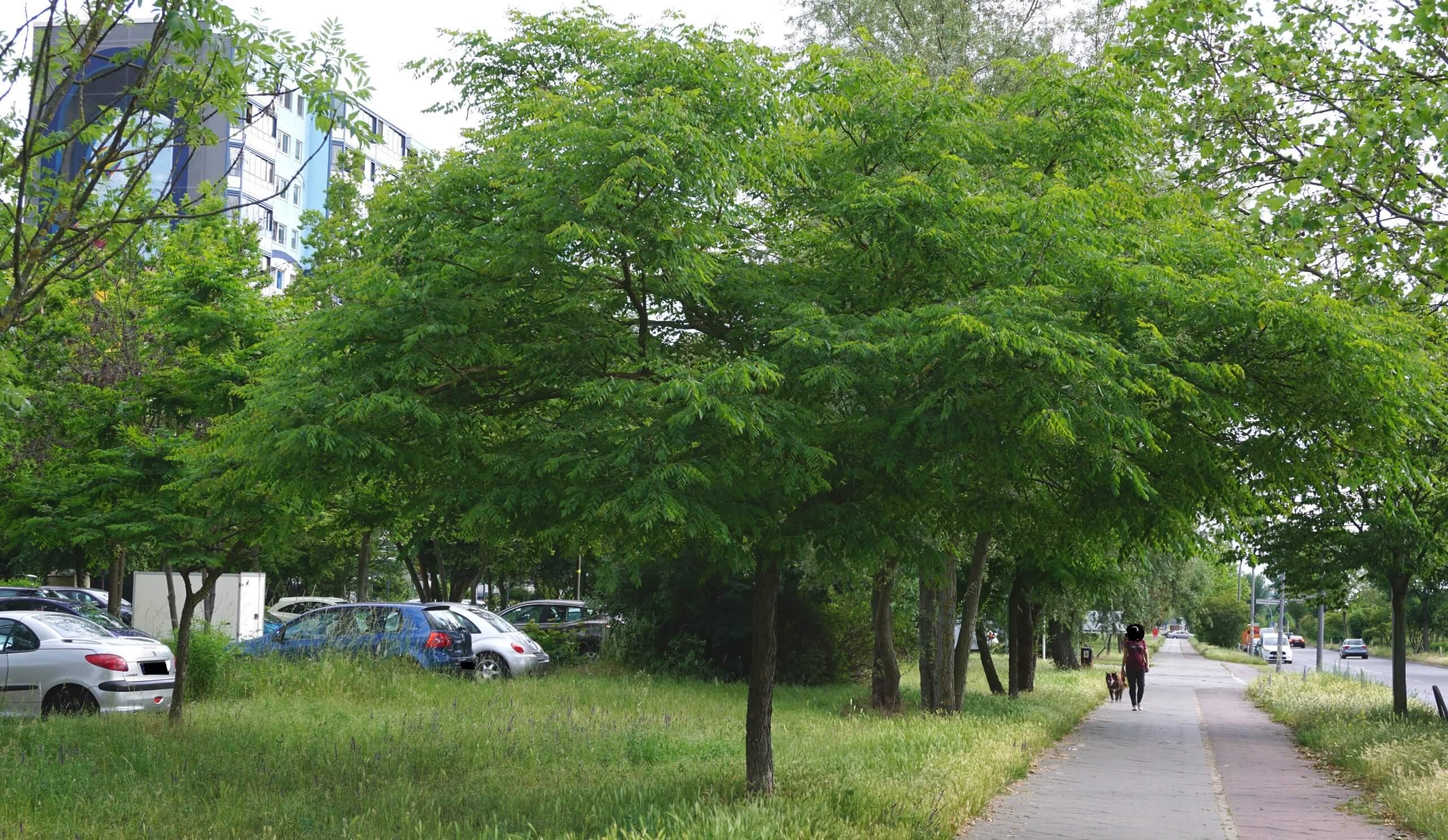 Das Bild zeigt ein kleines Exemplar eines Kentucky-Geweihbaumes mit ausgebreiteter Krone an der Schönefelder Chaussee im Kosmosviertel.