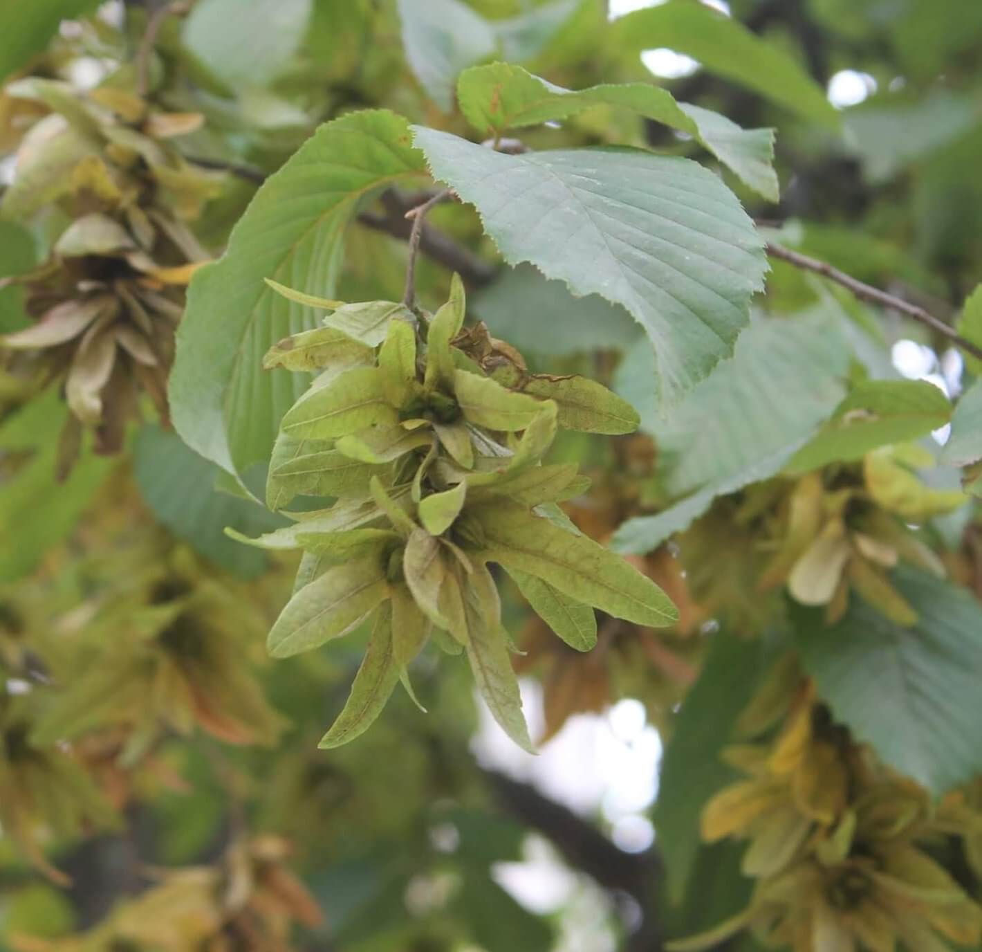 Das Bild zeigt Blätter und geflügelte Fruchtstände einer Hainbuche am Forum im zentralen Kosmosviertel im September. Die je von einem dreiteiligen Hochblatt versehenen Nussfrüchte werden vom Wind verbreitet.