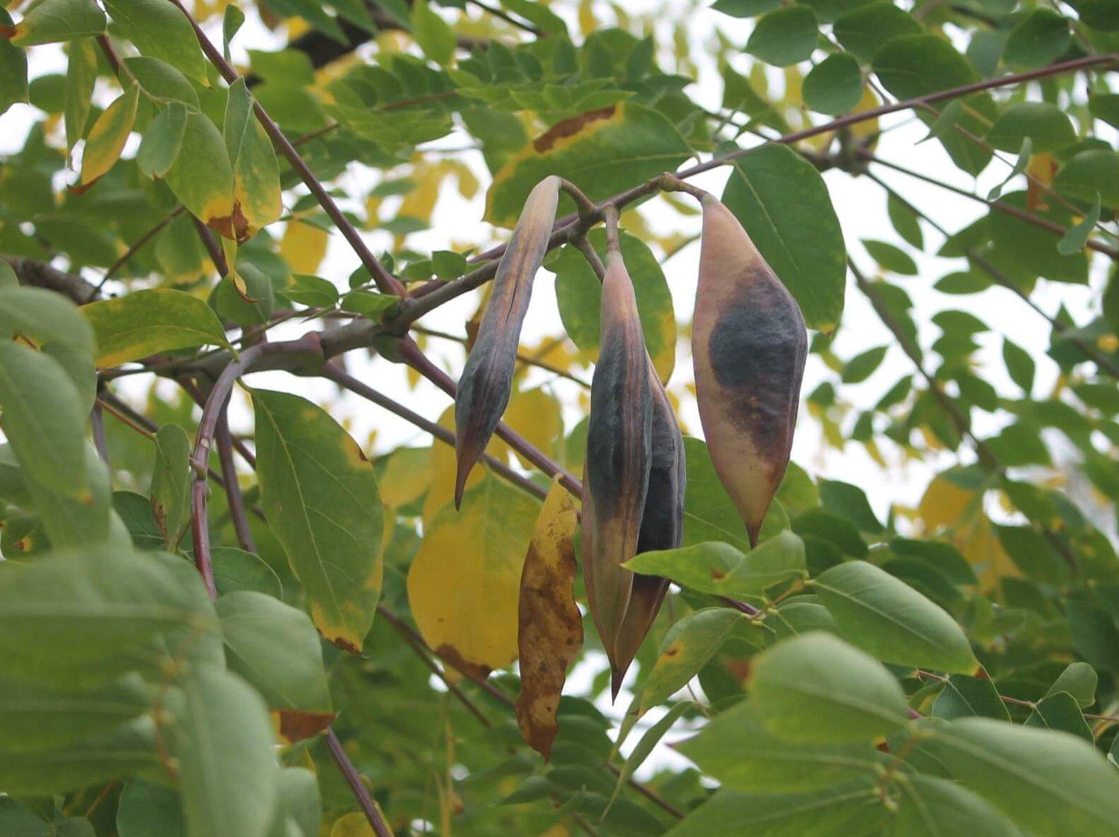 Das Bild zeigt die braunen, breiten Fruchthülsen eines Kentucky-Geweihbaumes im Kosmosviertel.