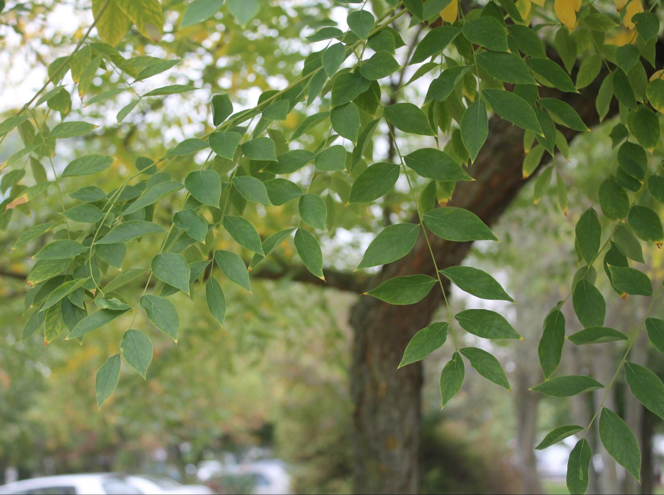 Das Bild zeigt die Fiederblätter mit paarig angeordneten Fiederblättchen eines Kentucky-Geweihbaumes an der Schönefelder Chaussee.