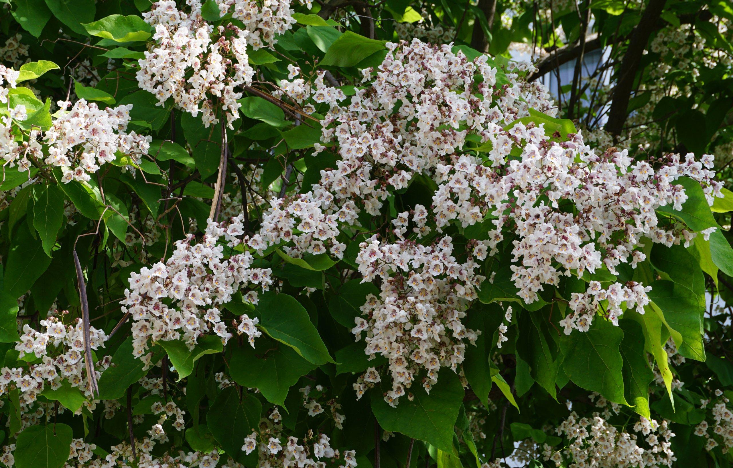 Das Bild zeigt die dicht mit Blüten besetzten Rispen eines Trompetenbaumes an der östlichen Venusstraße im Kosmosviertel.