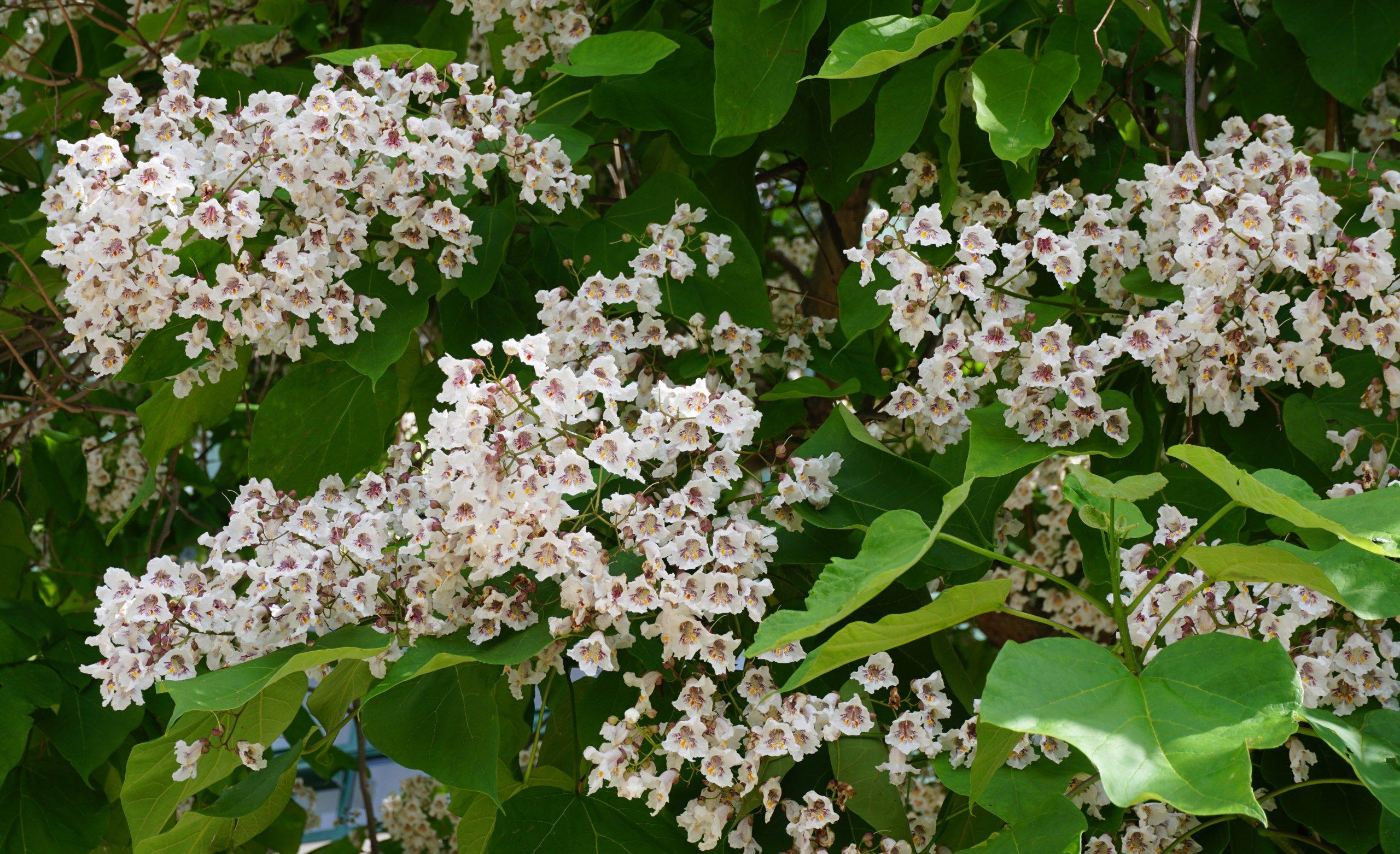 Das Bild zeigt die dicht in Rispen sitzenden Blüten eines Trompetenbaumes an der Venusstraße im Kosmosviertel.