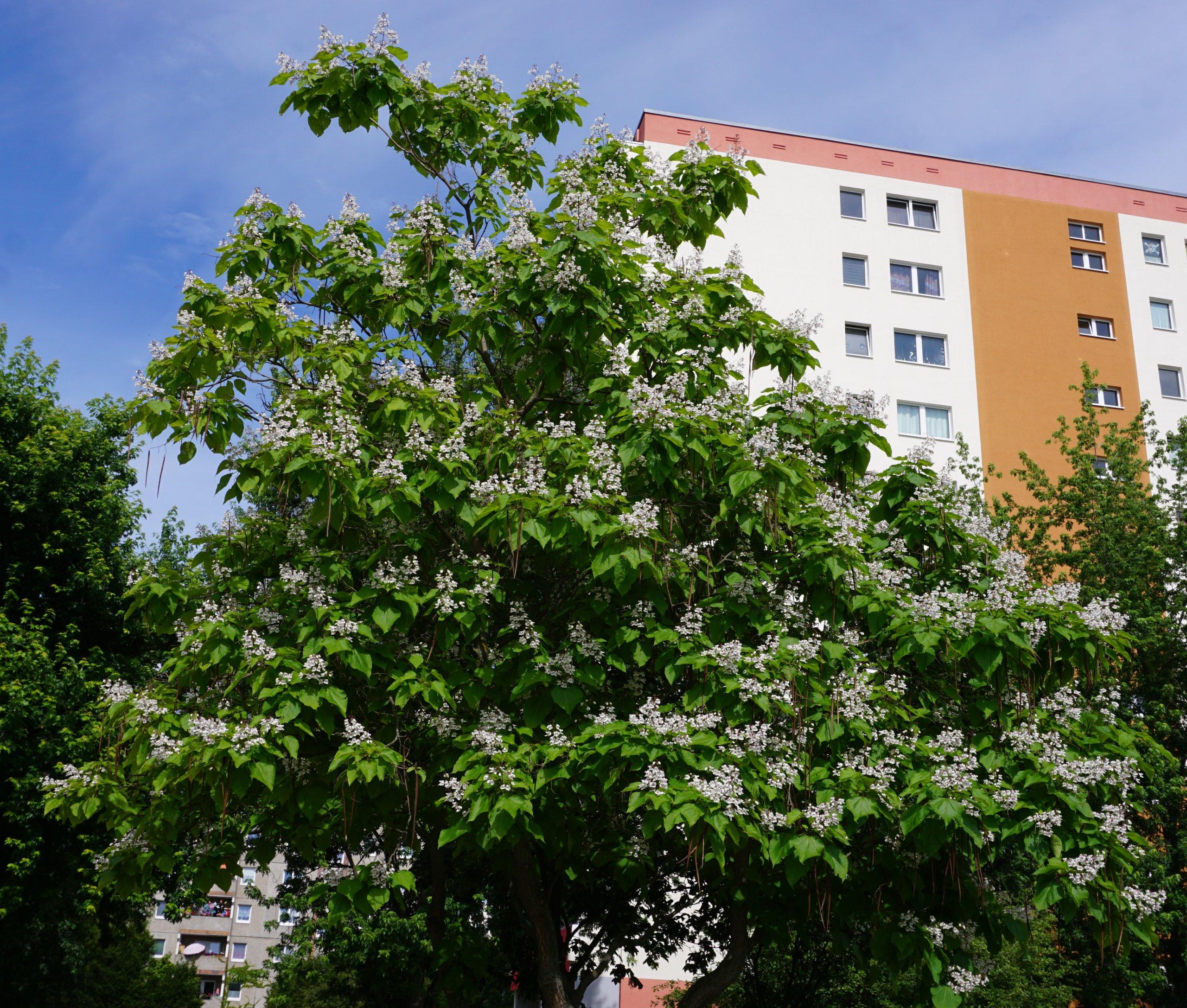 Das Bild zeigt die blütenbehangene Krone eines Trompetenbaumes in der Nähe des Familienzentrums im Kosmosviertel.