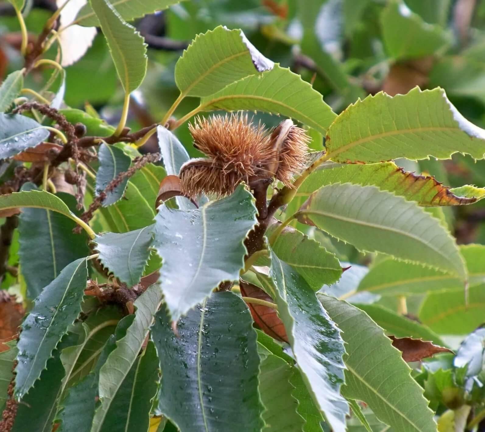 Das Bild zeigt einen Fruchtbecher einer Esskastanie, der auch als Cupula bezeichnet wird.