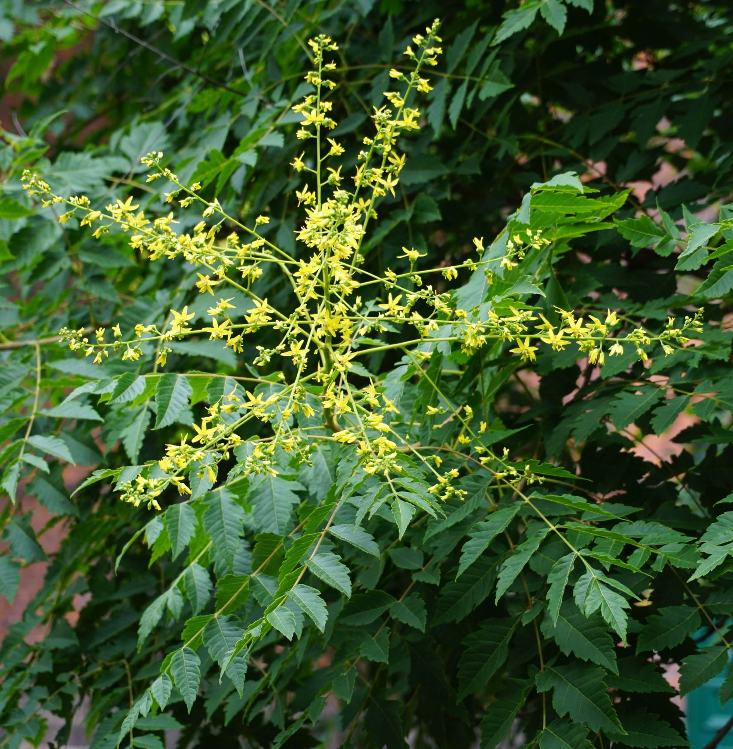Das Bild zeigt die Blütenrispe einer Blasenesche mit zahlreichen ansitzenden gelben Einzelblüten. Hierbei sind die meist vier einseitig wegstrebenden gelben Kronblätter auffällig.