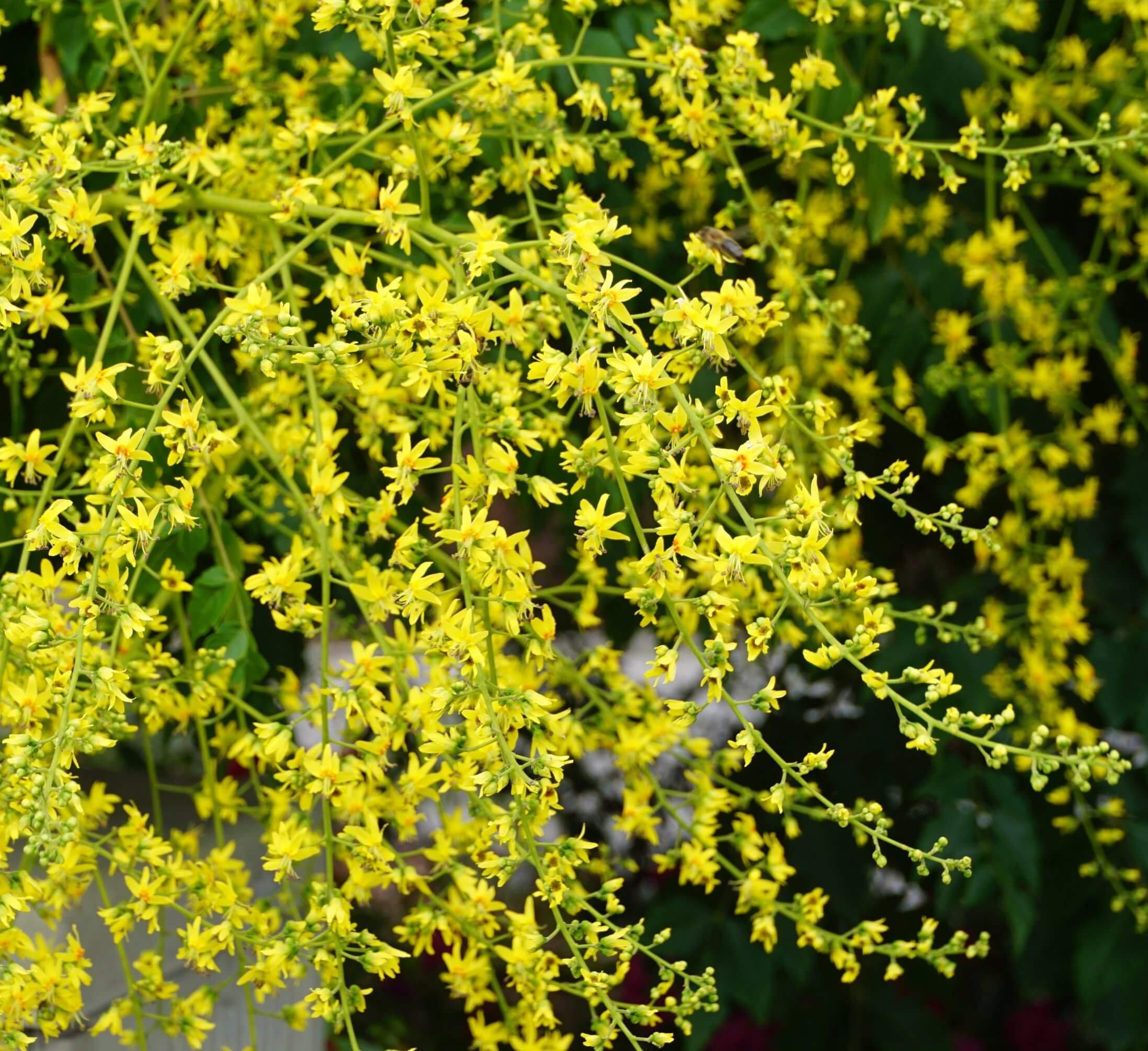 Das Bild zeigt die Einzelblüten der Blasenesche mit ihrer zweiseitigen Symmetrie aus meist vier in einer Kreishälfte abstrahlenden gelben Kronblätter und den gegenüberliegenden acht Staubblättern.