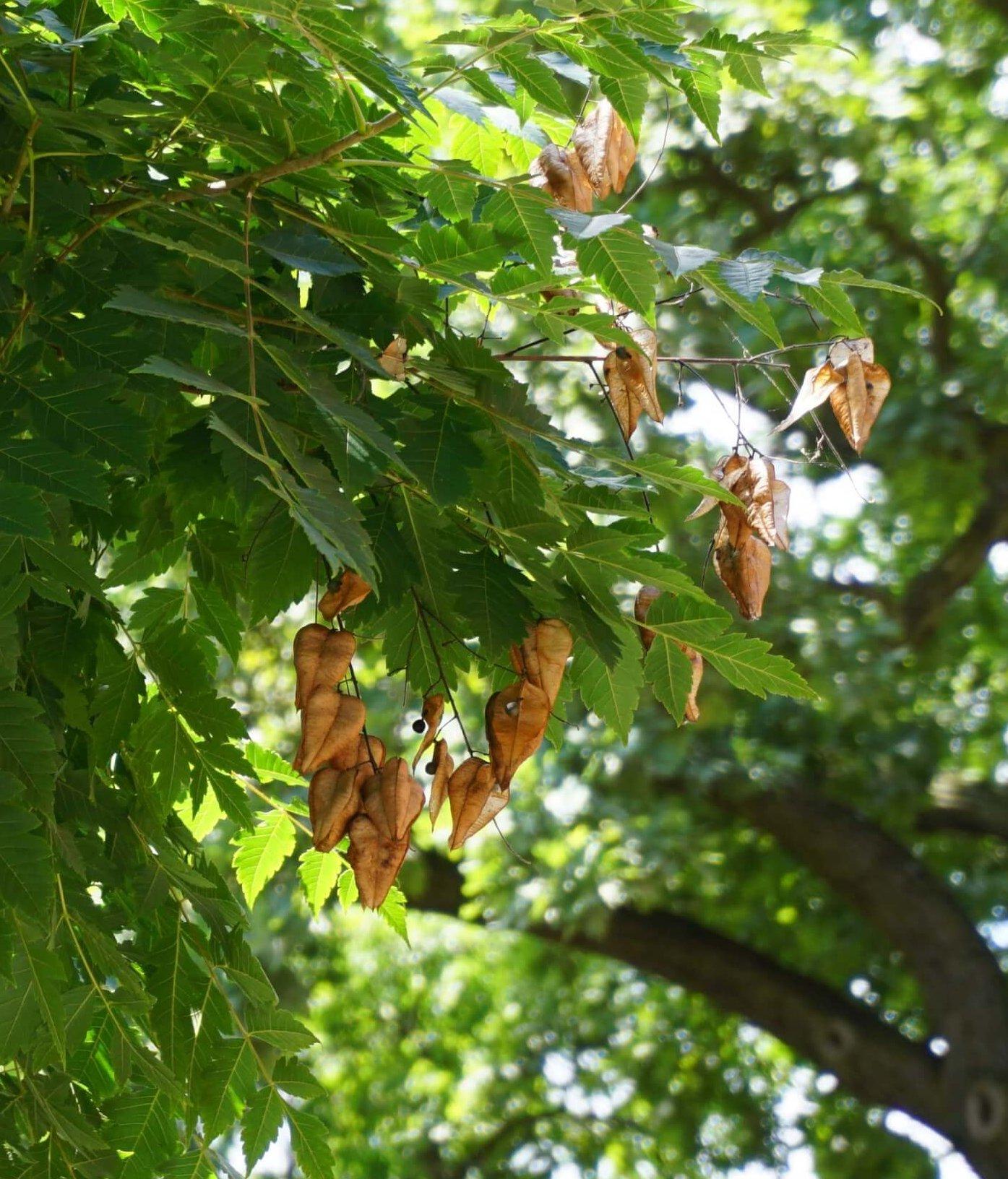 Das Bild zeigt die vorjährigen Fruchtkapseln in den äußeren Kronenbereichen einer Blasenesche. Diese Kapseln erinnern in ihrer Form an Lampions. Die braunen, dünnen, papierartigen Wände enthalten drei schwarze, erbsengroße Samen.