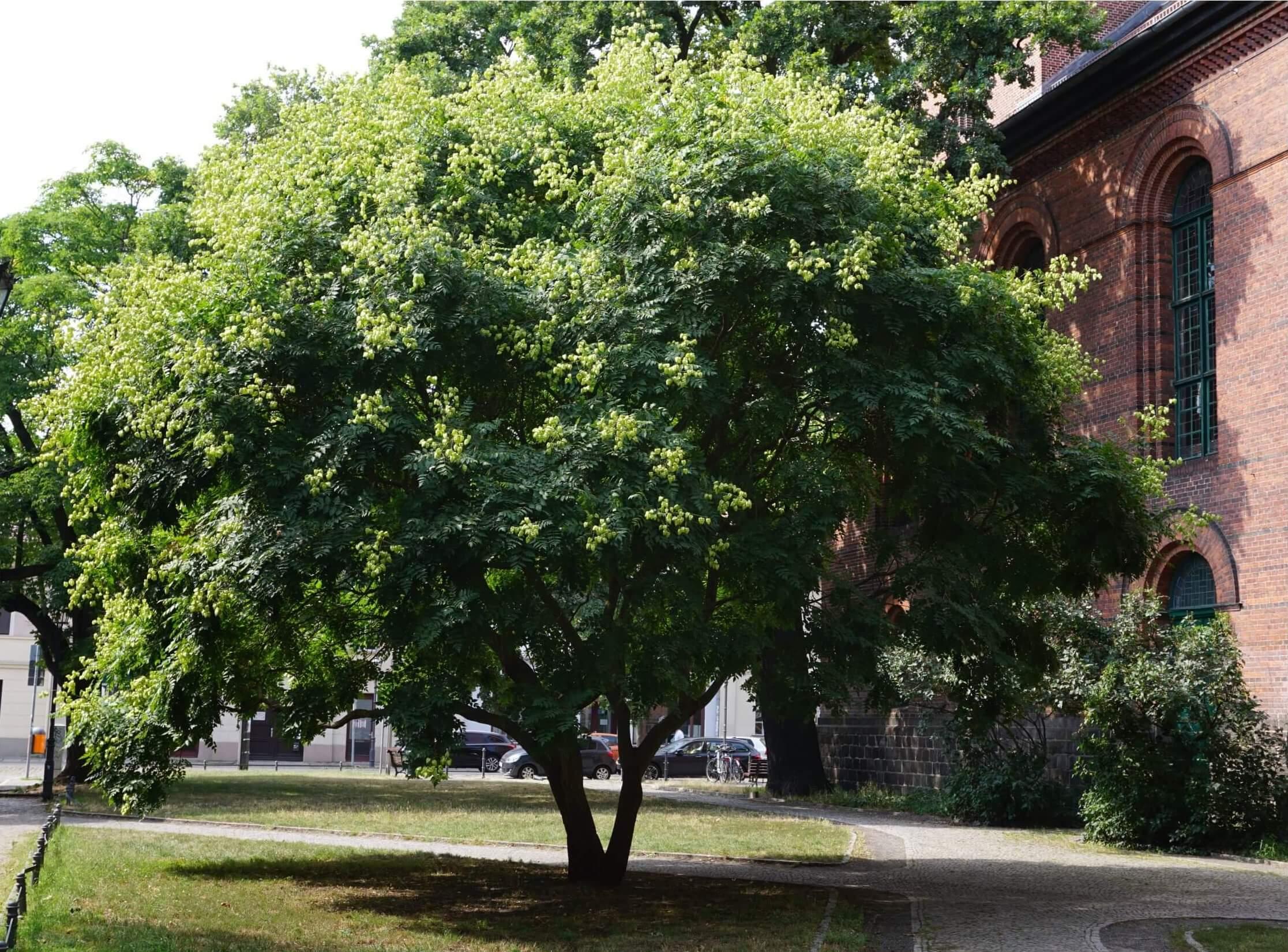 Das Bild zeigt ein gut gewachsenes, solitär stehendes Exemplar einer Blasenesche an der St. Laurentiuskirche in Alt-Köpenick. Der Baum trägt im August die noch grünen Kapselfrüchte.