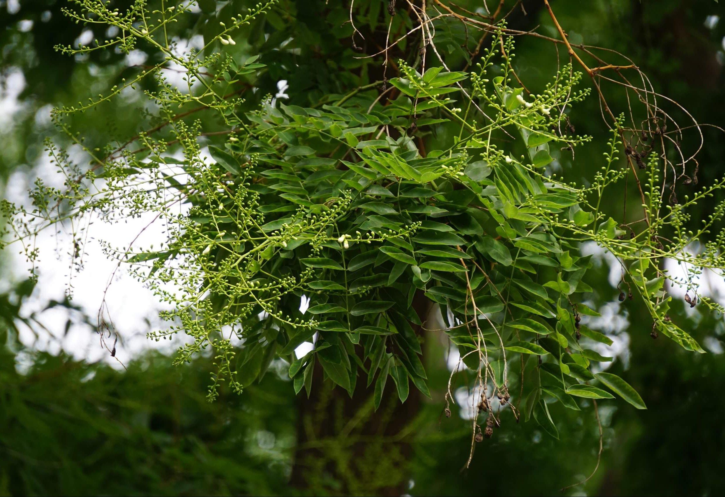 Das Bild zeigt die großen Blütenrispen des Schnurbaumes hier noch mit größtenteils geschlossenen Blüten. Der Baum steht am Luisenhain in Alt-Köpenick.