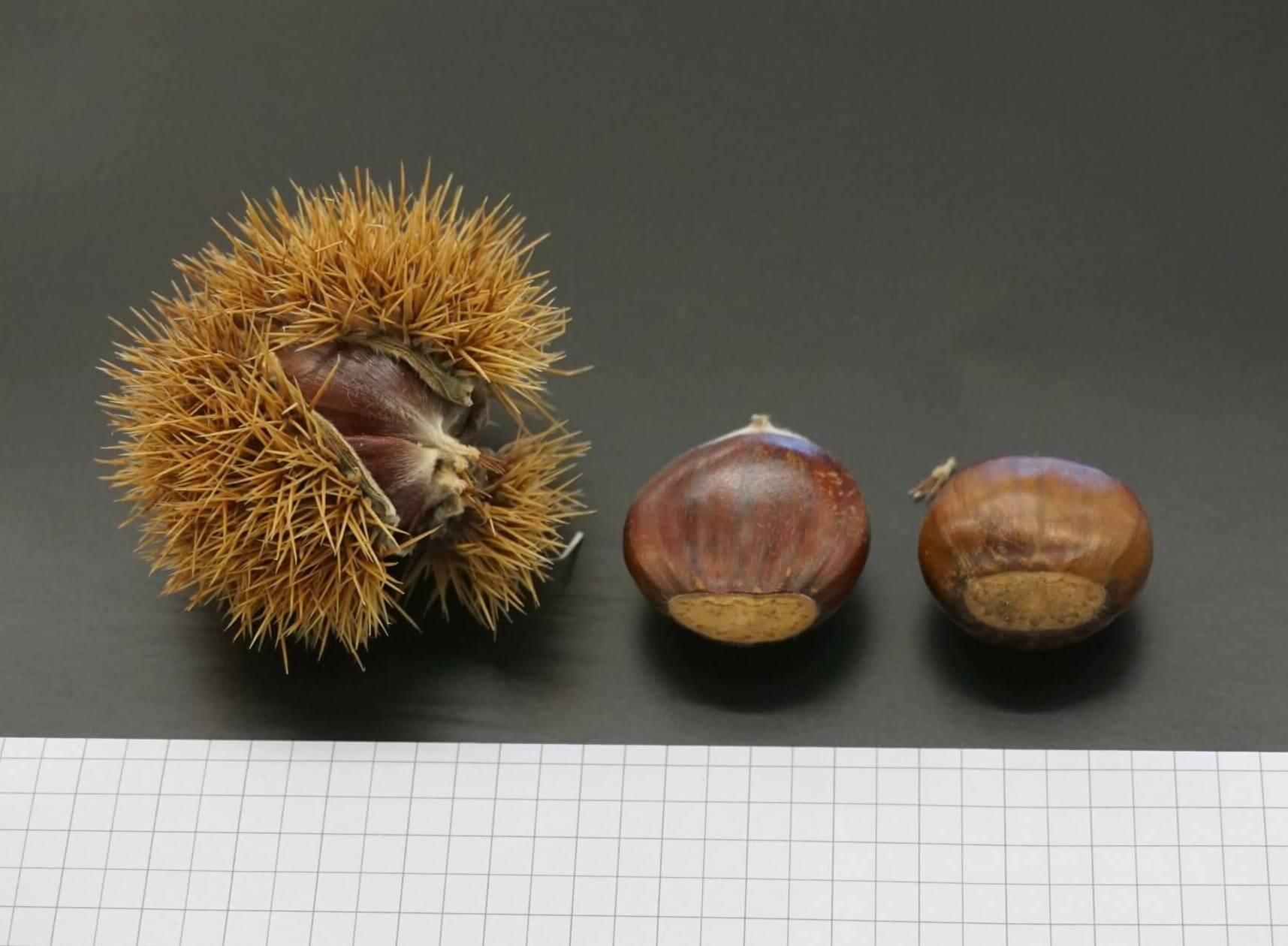 Das BIld zeigt den stacheligen Fruchtbecher und Maronen-Samen einer Edel- bzw. Esskastanie. Die Maronen sind dunkelbraun beschalt und enthalten den hellen Kern, der geröstet, eine Delikatesse darstellt.