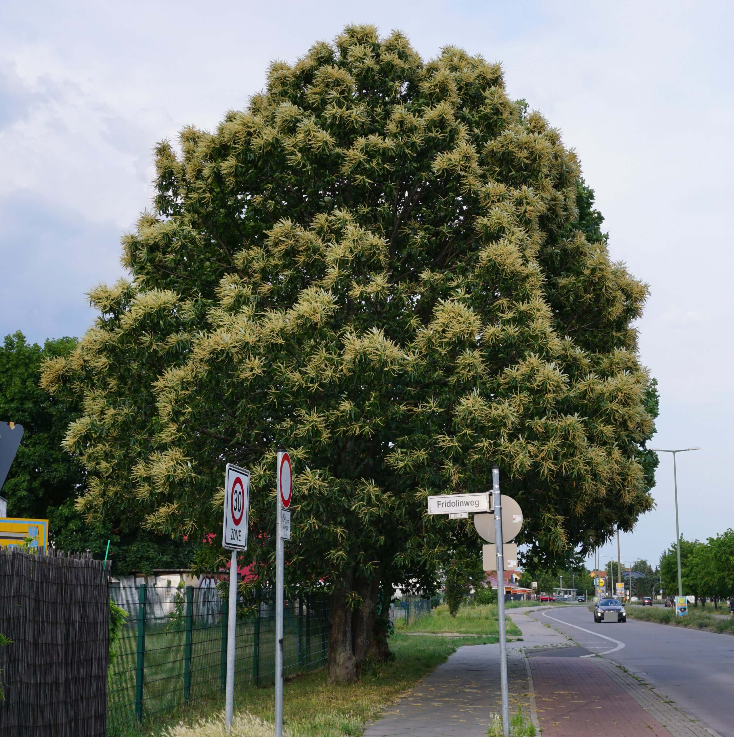 Das Bild zeigt ein frei stehendes Exemplar einer Edel-Kastanie nach der Blütezeit an der Cecilienstraße /Ecke Fridolinweg in Marzahn-Hellersdorf. Die langen männlichen Blütenstände sind immer noch dominant sichtbar.
