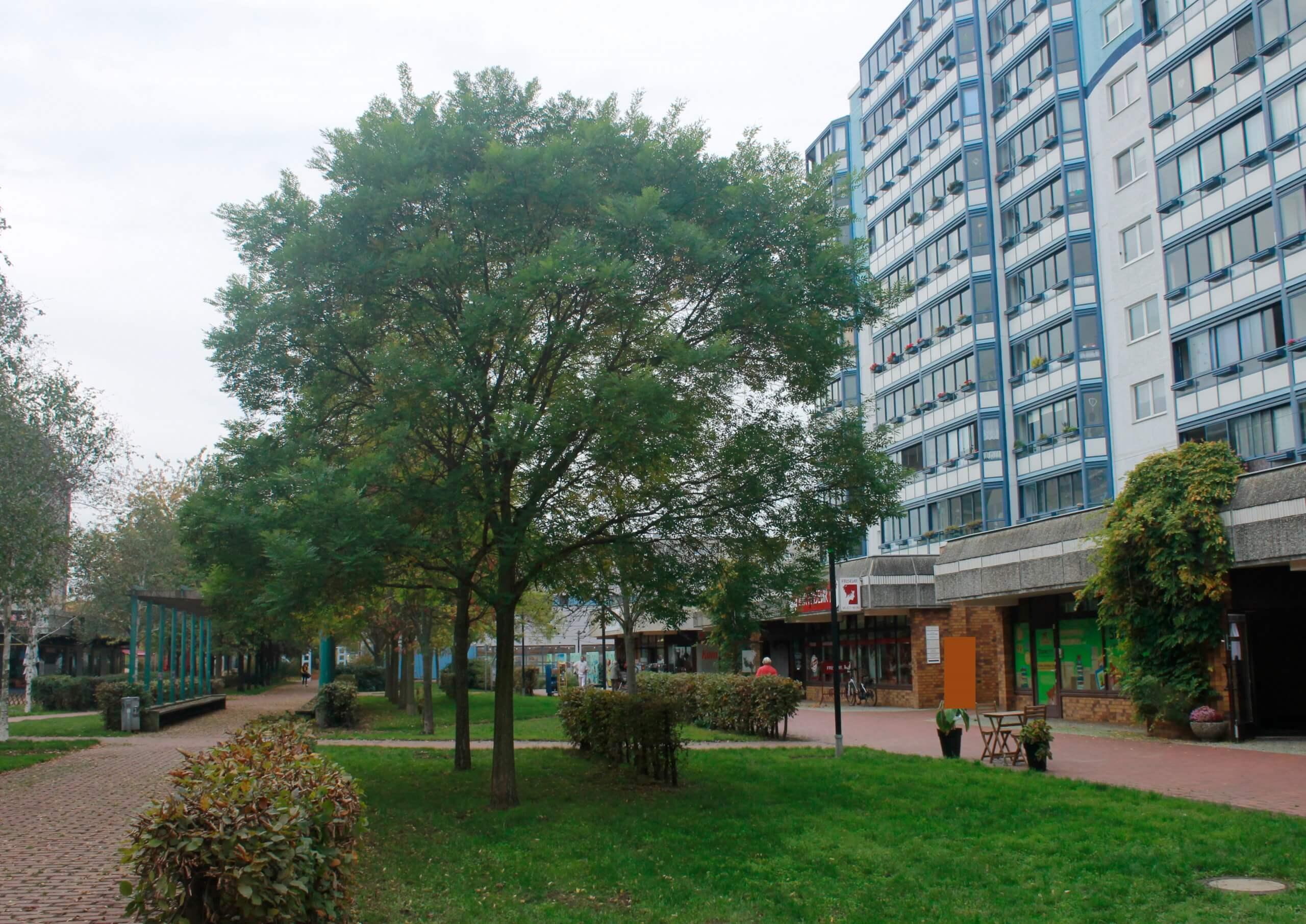 Das Bild zeigt in Reihe gepflanzte Schnurbäume im zentralen Grünzug des Kosmosviertels etwa in Höhe des Kiezladens WaMa.