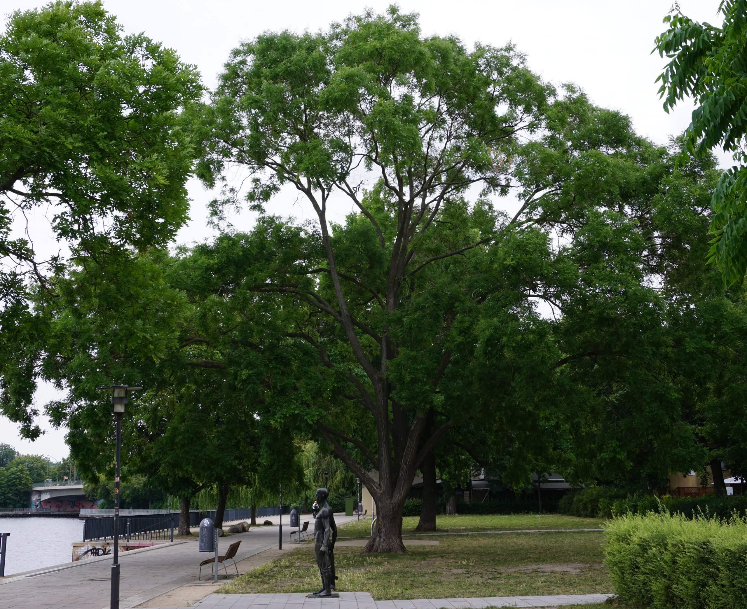 Das Bild zeigt einen Schnurbaum mit einer Krone aus steil emporragenden Stammteilungen. Der Baum steht am Ufer der Dahme in der Nähe des Luisenhains in Alt-Köpenick.