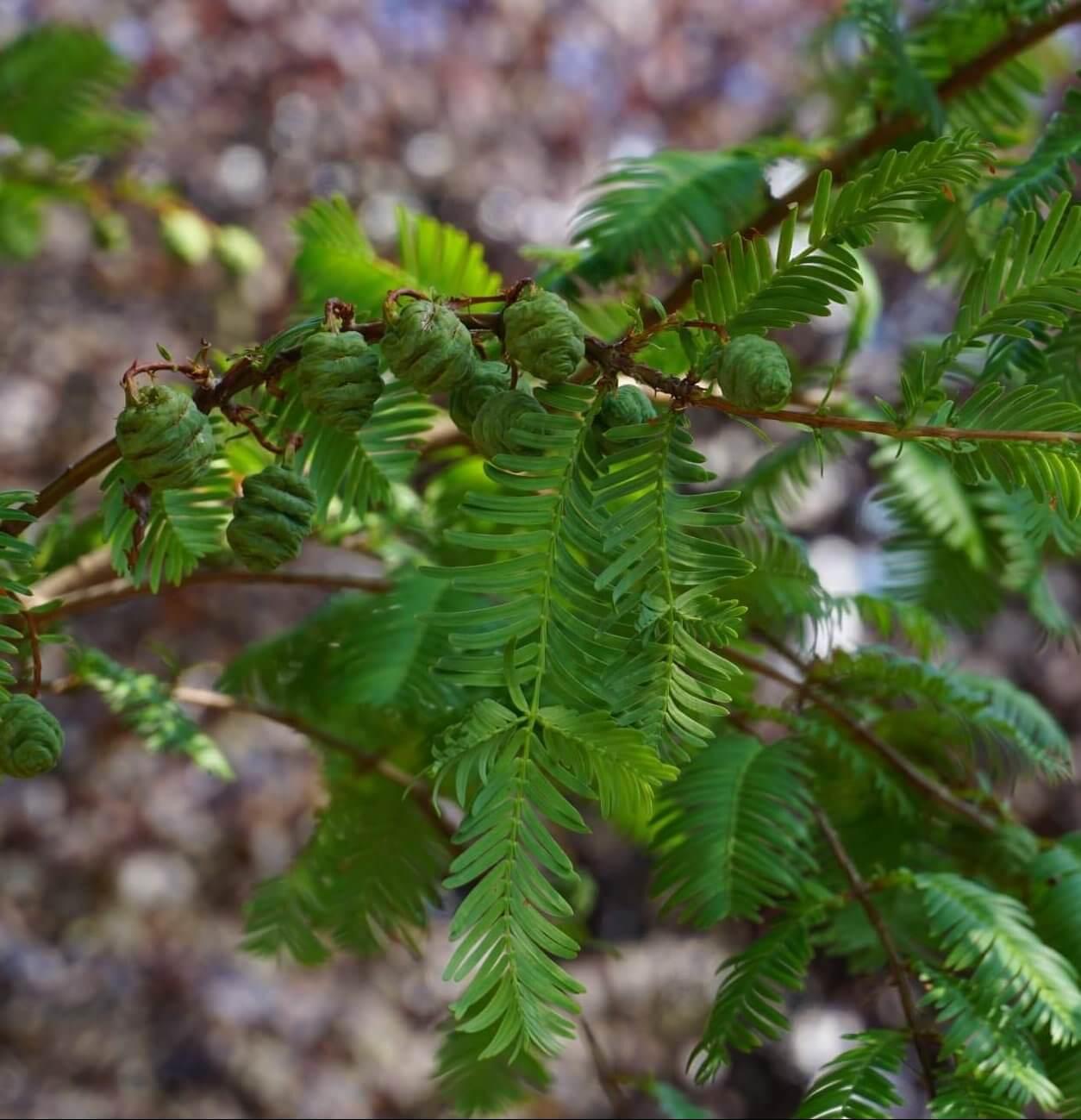 Das Bild zeigt die noch grünen unreifen Zapfen im August an einem Urweltmammutbaum im Kosmosviertel.