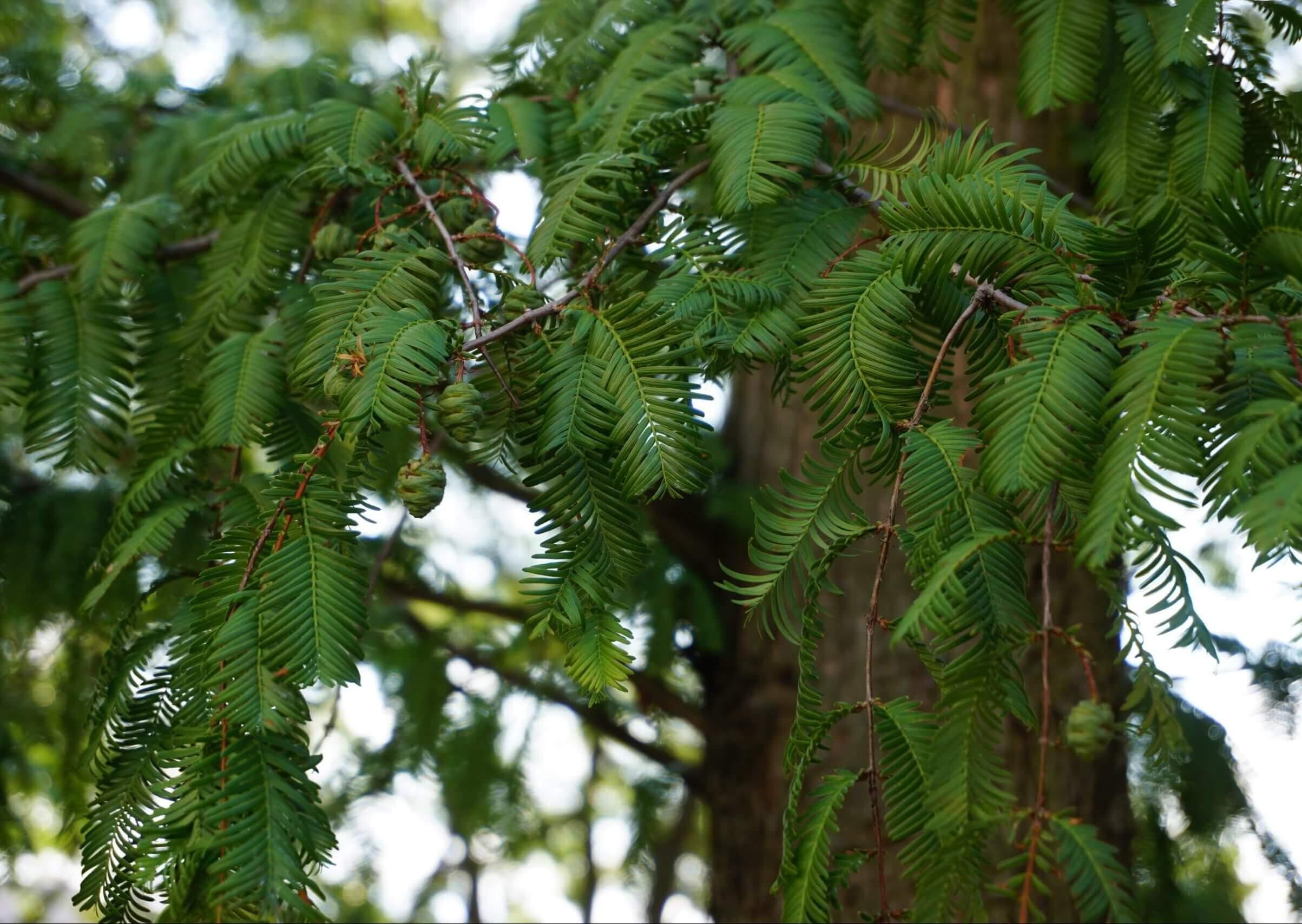 Das Bild zeigt die Zweige mit den Fiederblättern und einige noch grüne Zapfen an einem Urweltmammutbaum im Kosmosviertel. Die Aufnahme erfolgte im August.