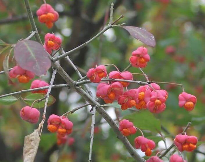 Das Bild zeigt die kräftig roten Fruchtkapseln eines Pfaffenhütchens, die sich im Oktober öffnen und die von einem leuchtend orangeroten Fruchtmantel umhüllten weißen Samen erkennen lassen.