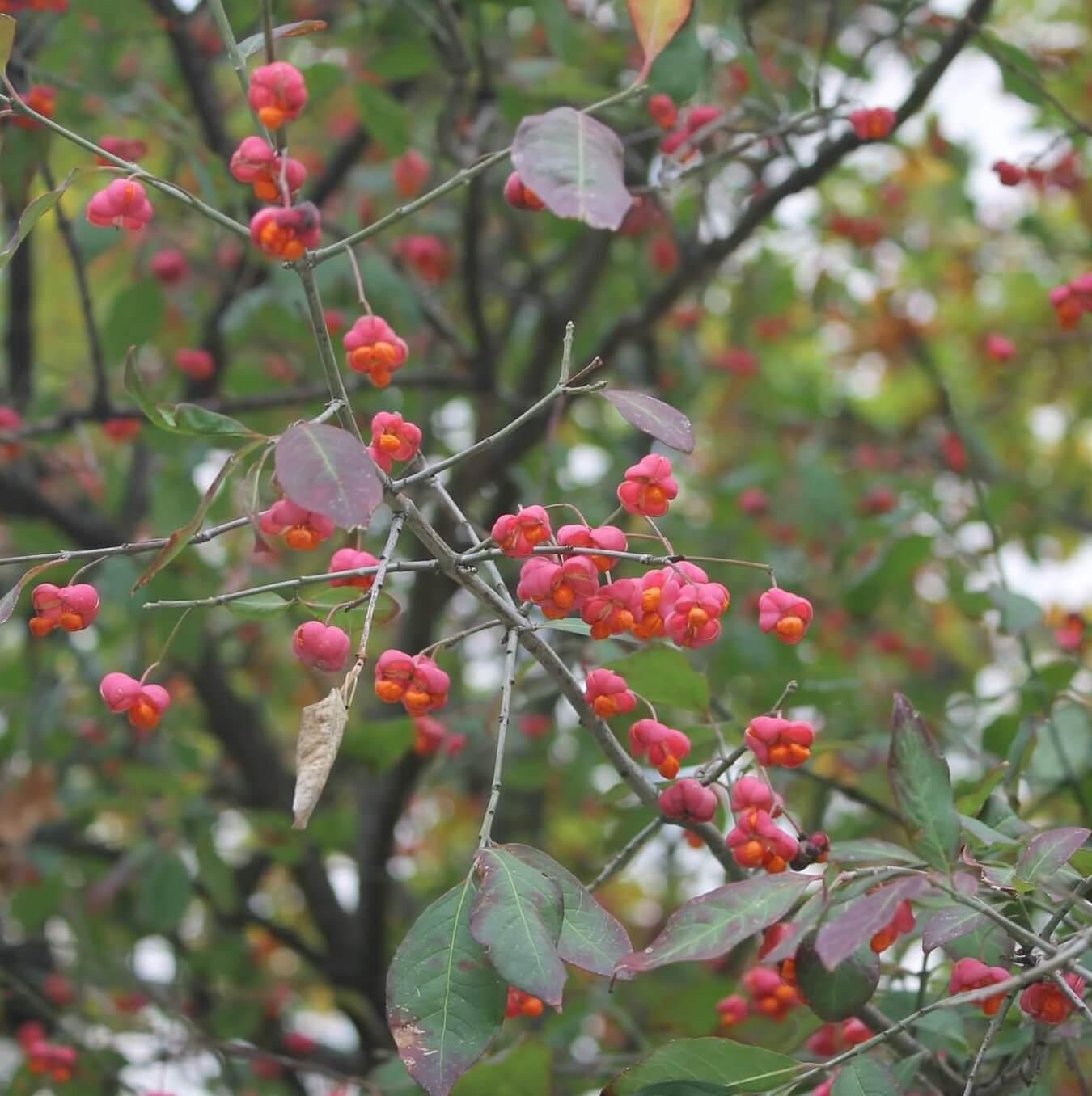 Das Bild zeigt die kräftig roten Fruchtkapseln eines Pfaffenhütchens, die sich im Oktober öffnen und die von einem leuchtend orangeroten Fruchtmantel umhüllten Samen erkennen lassen.