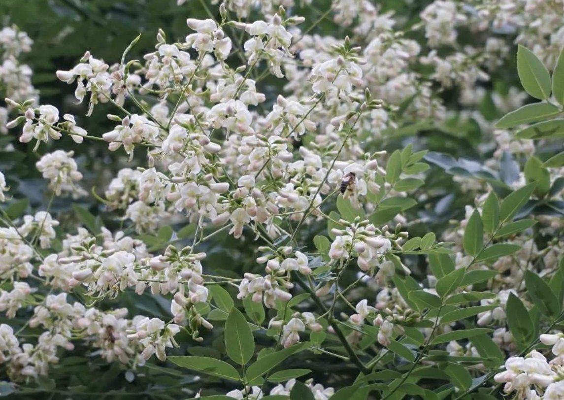 Das Bild zeigt die cremeweißen Blüten an einem Japanischen Schnurbaum im Kosmosviertel.