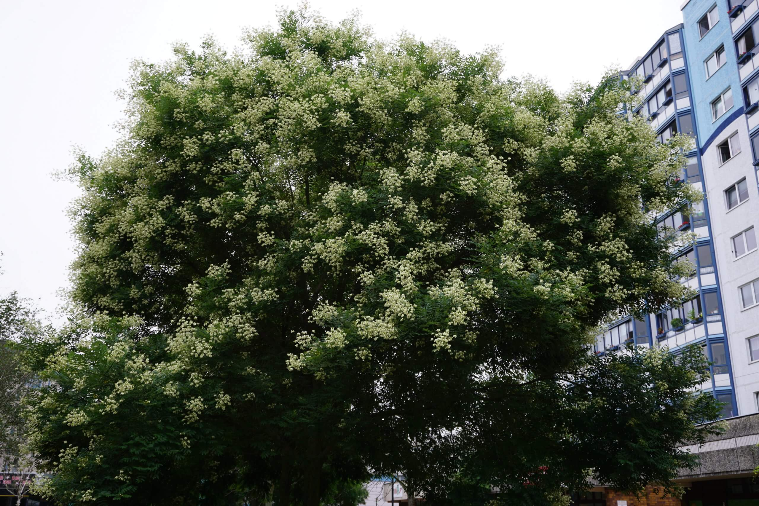 Das Bild zeigt die Krone eines in der vollen Blüte stehenden Schnurbaums im zentralen Kosmosviertel. Die cremeweißen Blüten sitzen in Rispen.