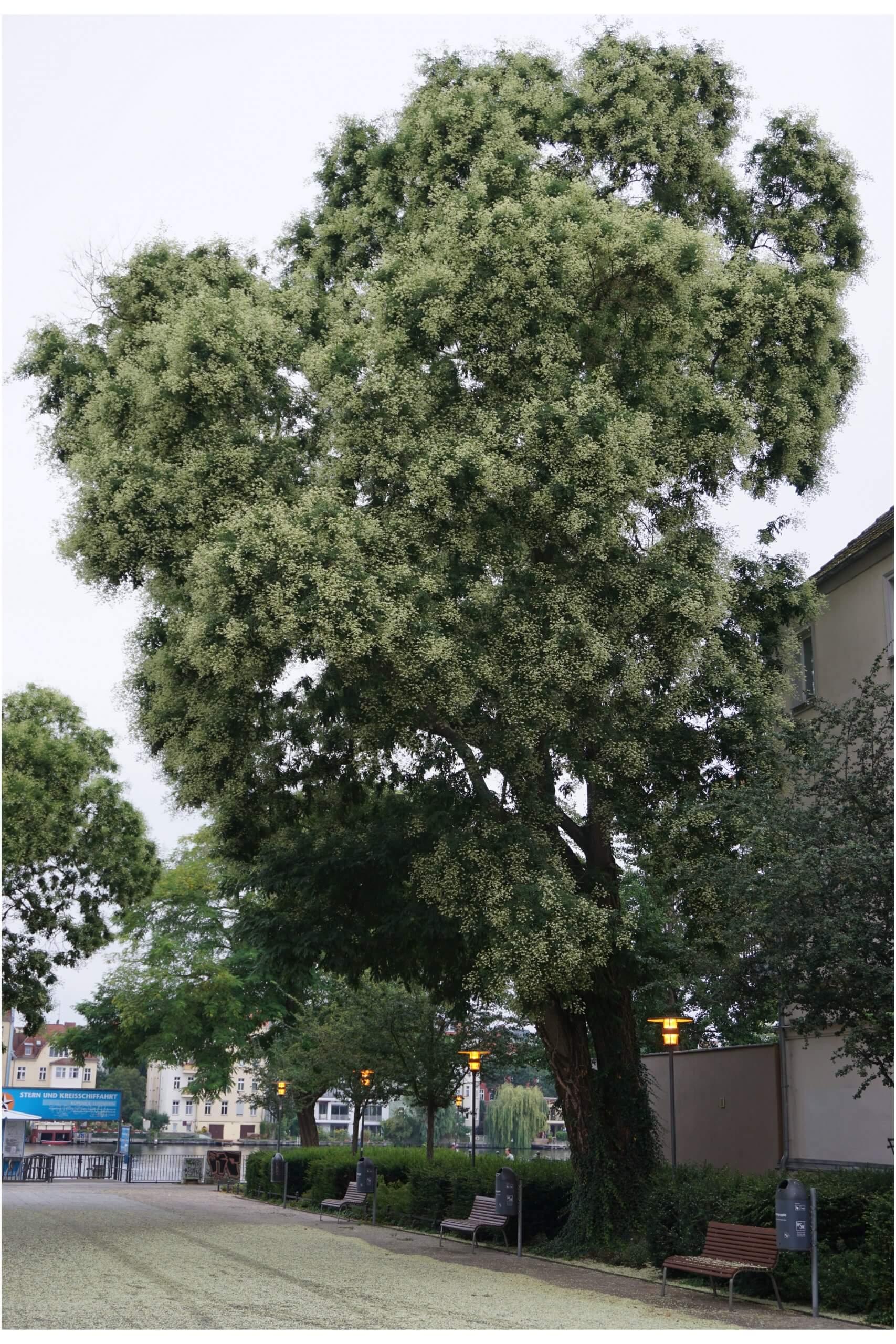 Das Bild zeigt ein großes Exemplar eines blühenden Japanischen Schnurbaums am Luisenhain gegenüber dem Rathaus Köpenick.