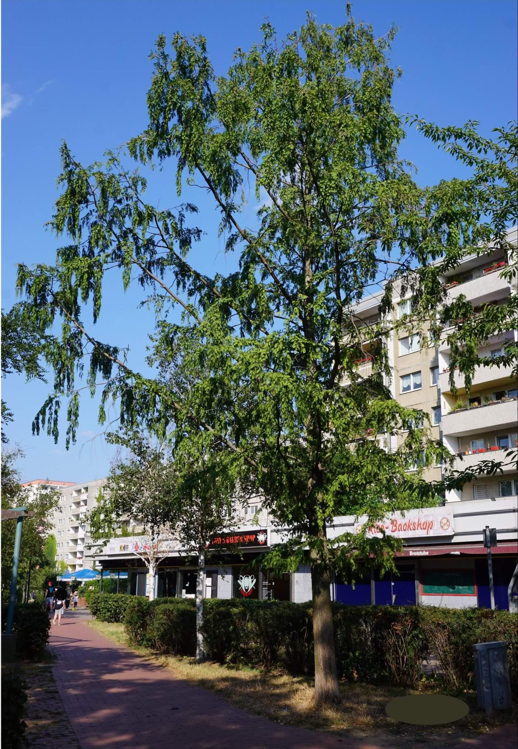 Das Bild zeigt das einzeln stehende Exemplar eines Urweltmammutbaumes am Weg, der zum Kiezladen WaMa, Kosmosviertel, führt.