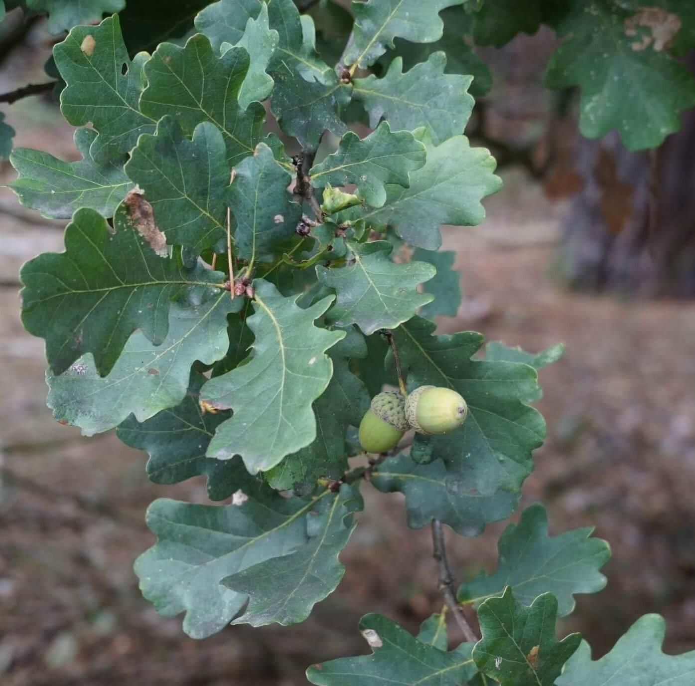 Die Eichel-Früchte an einer Stiel-Eiche. Eine, oder am Ende sich verzweigend, zwei Eicheln hängen an einem langen Stiel. Hier an einem Exemplar am Rande der Ortschaft Müggelheim.