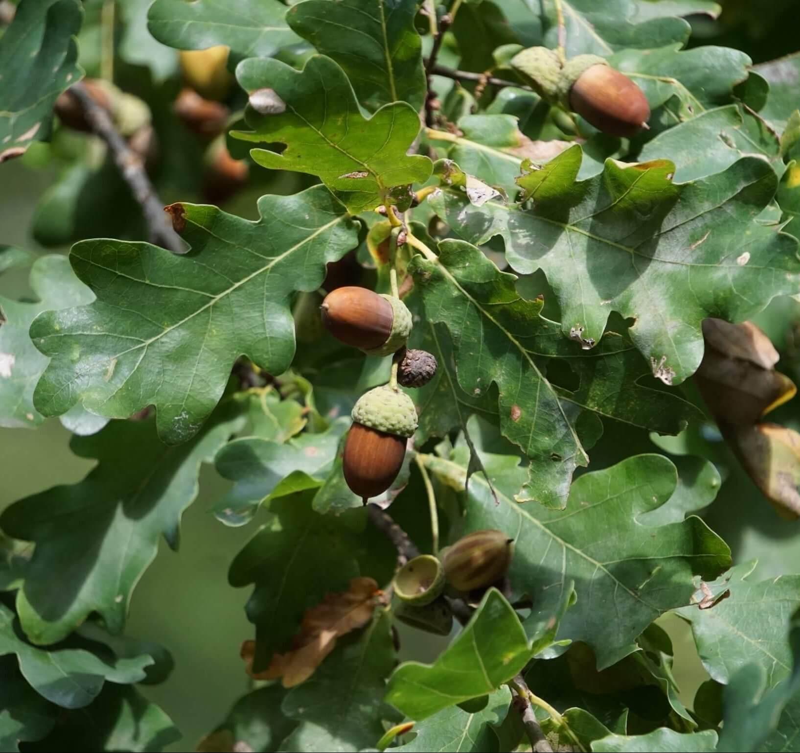 Das Bild zeigt Eichel-Früchte an einem Mischling aus Trauben- und Stiel-Eiche im Herbst. Die Eicheln sind zu mehreren entlang kürzerer Stiele angeordnet. An diesem Exemplar dominieren jedoch noch die Stiel-Eichen-Merkmale. Aufgenommen im Wald südlich der Müggelberge.