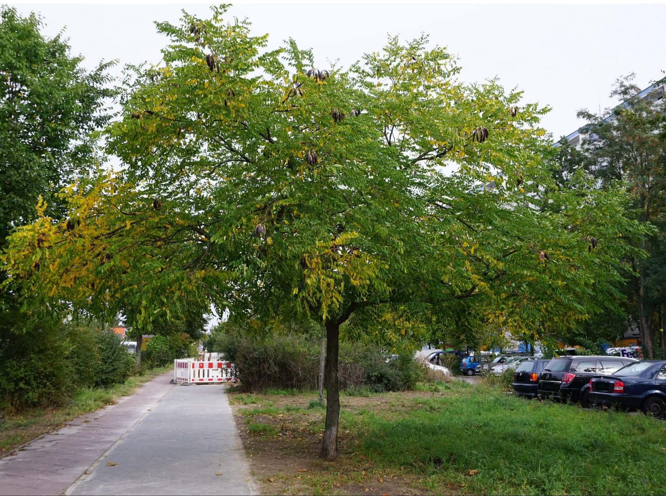 Das Bild zeigt das weibliche Exemplar eines Geweihbaumes mit gereiften Fruchthülsen in der Krone. Die Bäume bilden freistehend breite schirmartige Kronen. Das Foto entstand im Oktober 2020 an der Schönefelder Chaussee am Kosmosviertel.