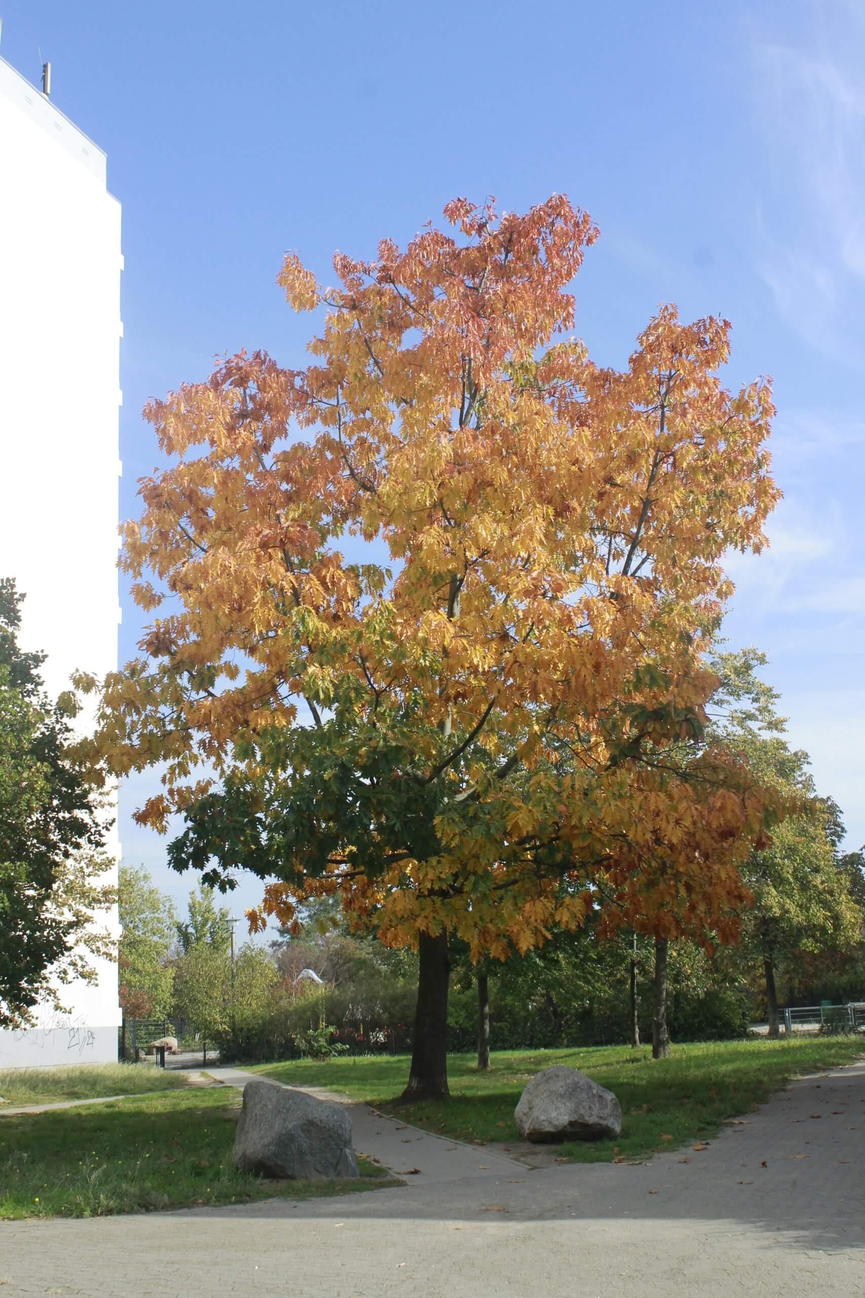 Das Bild zeigt eine solitär stehende Rot-Eiche in ihrer Herbstfärbung. Hierbei sind die unteren Partien noch grünbelaubt, wobei die Blattfärbungen in den mittleren Bereichen in die gelbe, karotin-verursachte Färbung übergeht, die dann in den äußeren und hohen Kronenbereichen von durchgetrockneten, braunen Laub abgelöst wird, welches orangerot im Licht erstrahlt.