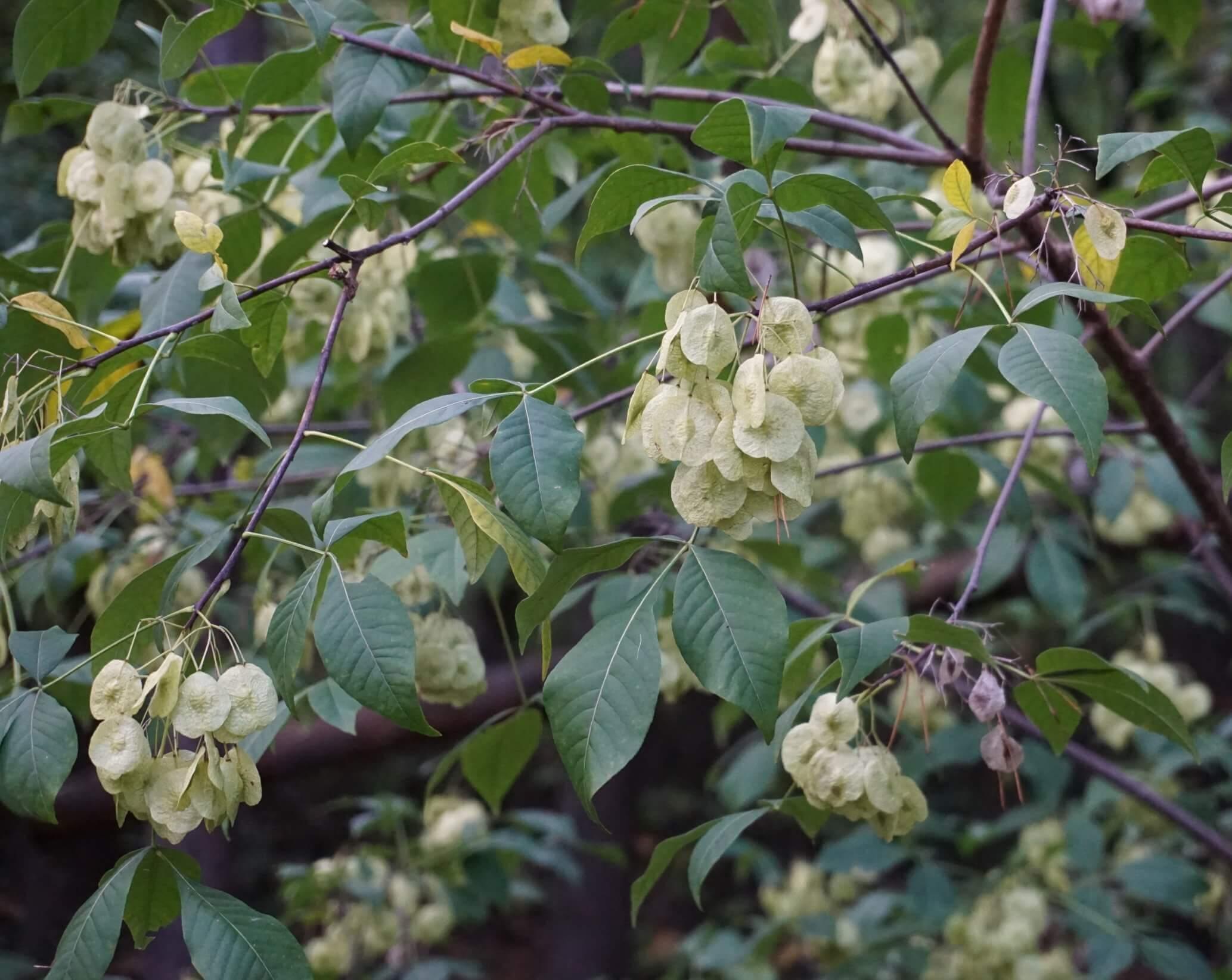 Das Bild zeigt die Früchte der nordamerikanischen Klee-Ulme. Diese sind Flügelnüsse von scheibenartig-runder Gestalt.