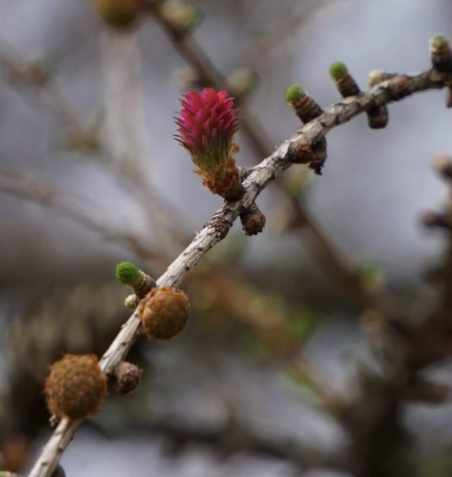 Das Bild zeigt in der Nah-Ansicht die roten Fruchtblätter bzw. Fruchtschuppen eines Blütenzapfens einer Lärche. Auf ihren Außenseiten sitzen schmale grüne, an Nadeln erinnernde Strukturen, die als Tragblätter bezeichnet werden.