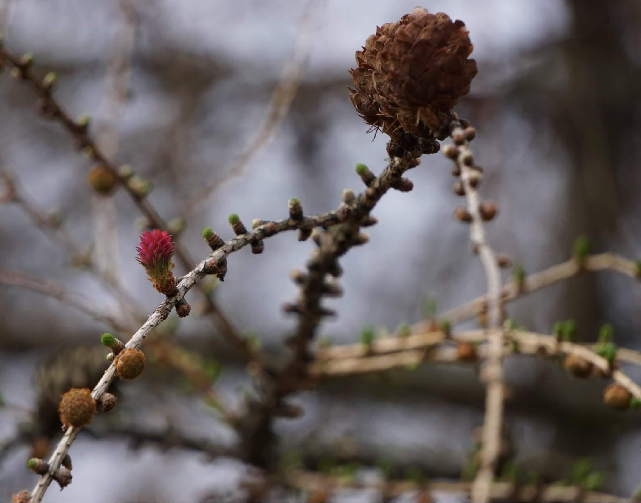 Das Bild zeigt die weiblichen Blütenzapfen der Lärche. Sie sind zwar recht klein, aber schon an ihren roten Fruchtschuppen an den Zweigen auffallend.