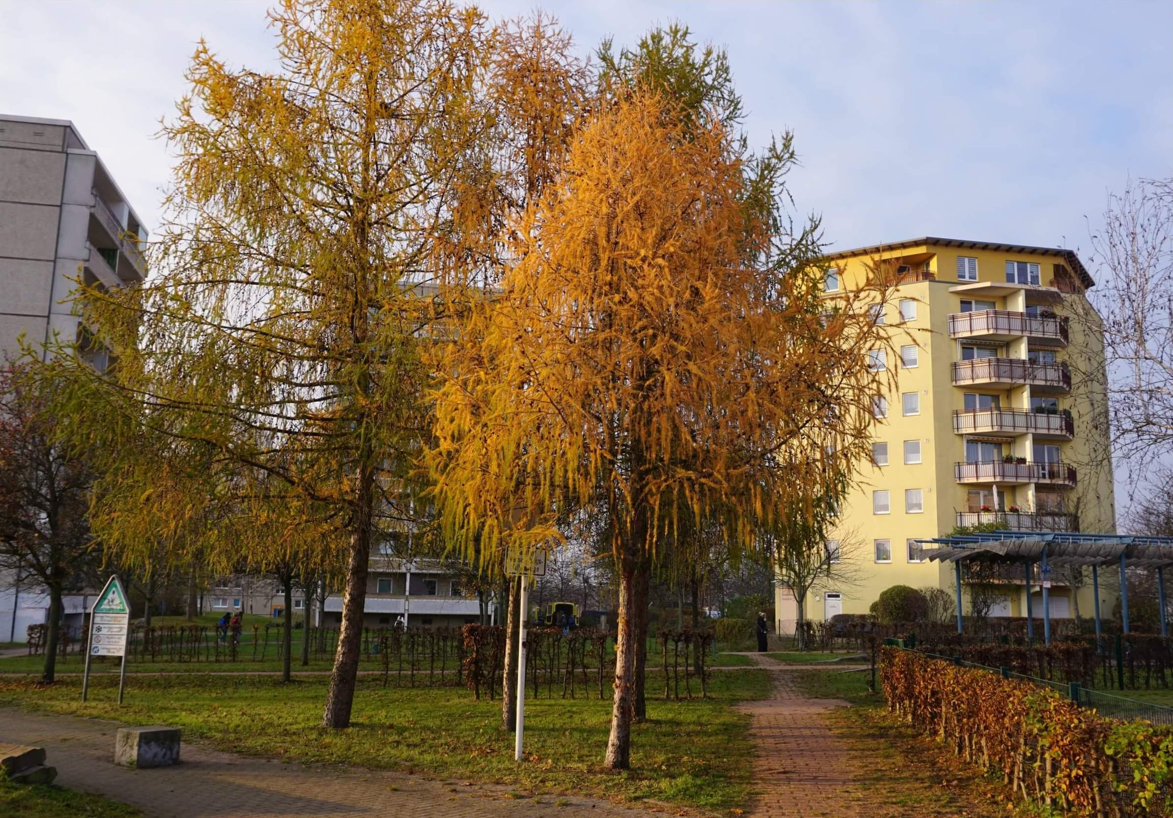 Das Bild zeigt die goldgelbe Herbstfärbung an Lärchen im zentralen Grünzug des Kosmosviertels, in der Nähe des Anne-Frank-Gymnasiums. Sie bilden hier eine kleine Gehölzgruppe, die von Fussgängerwegen flankiert wird.
