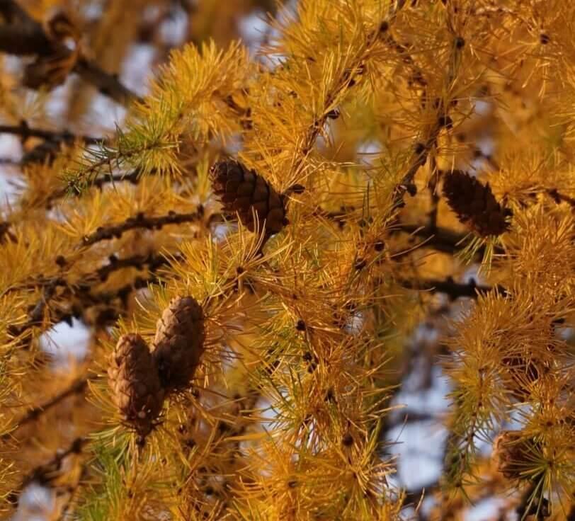 Das Bild zeigt die verholzten Zapfen einer Lärche mit geöffneten Samenschuppen zu Dezemberbeginn. Die Samen reifen im Gegensatz zur Kiefer schon im selben Jahr. Jedoch können die verholzten Zapfen noch mehrere Jahre am Baum haften bleiben.