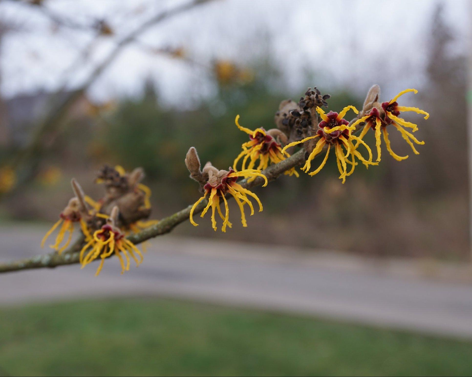 Das Bild zeigt die Blüten einer Japanischen Zaubernuss in der Nahansicht. Die Blüten sind mit langen, kräftig gelb gefärbten Kronblättern versehen, die im Unterschied zur Chinesischen Zaubernuss wellige Ränder aufweisen.