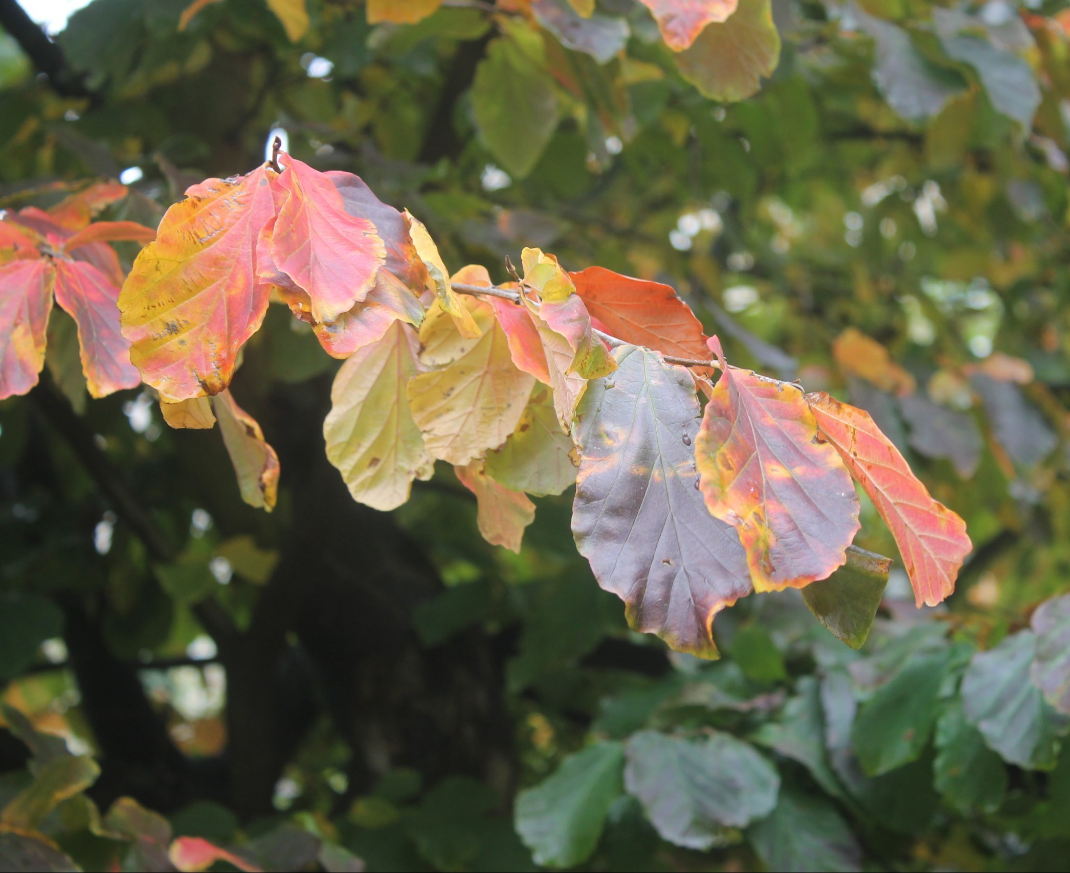 Das Bild zeigt das Laub der Parrotie, welches sich im Oktober intensiv verfärbt. Leuchtende rote als auch gelbe Farbtöne sind dann sichtbar, wobei viele Blätter scheckig erscheinen und teilweise auch noch dunkelgrüne Töne aufweisen.